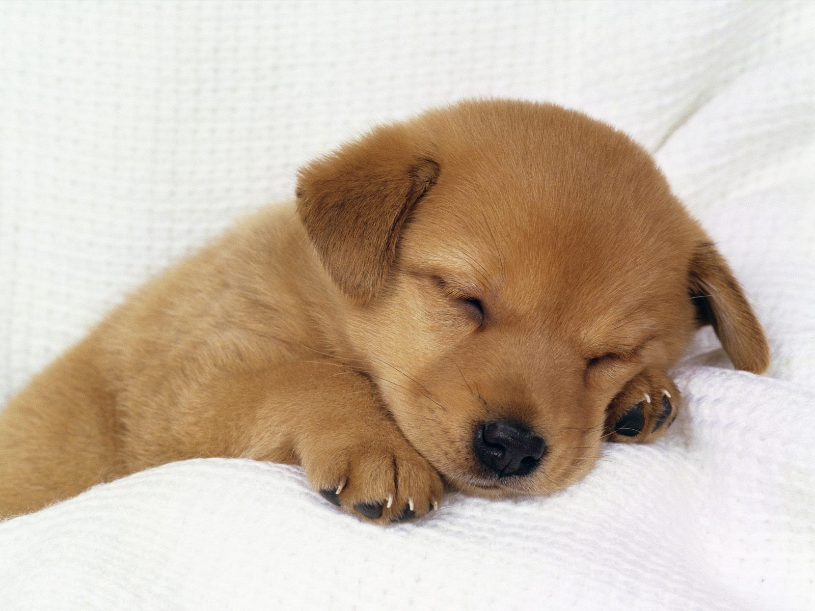 Cute Baby Puppies Wallpapers Top Free Cute Baby Puppies Backgrounds Wallpaperaccess