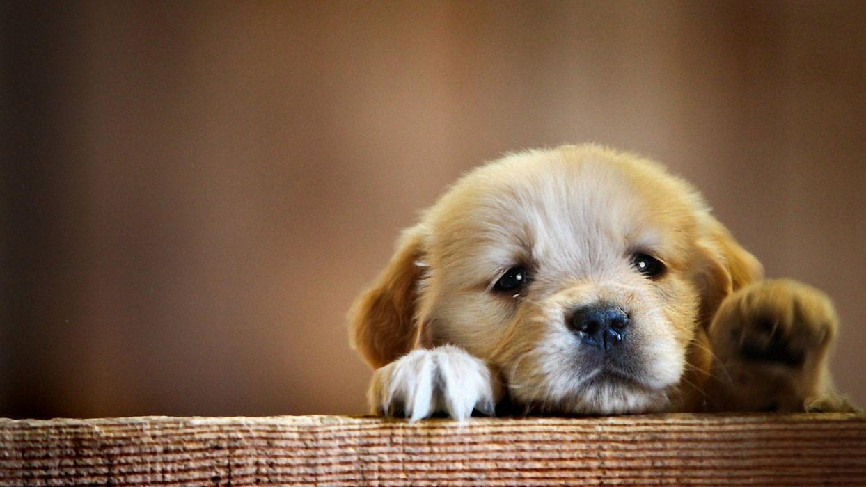 Baby Puppy Wallpapers Top Free Baby Puppy Backgrounds Wallpaperaccess