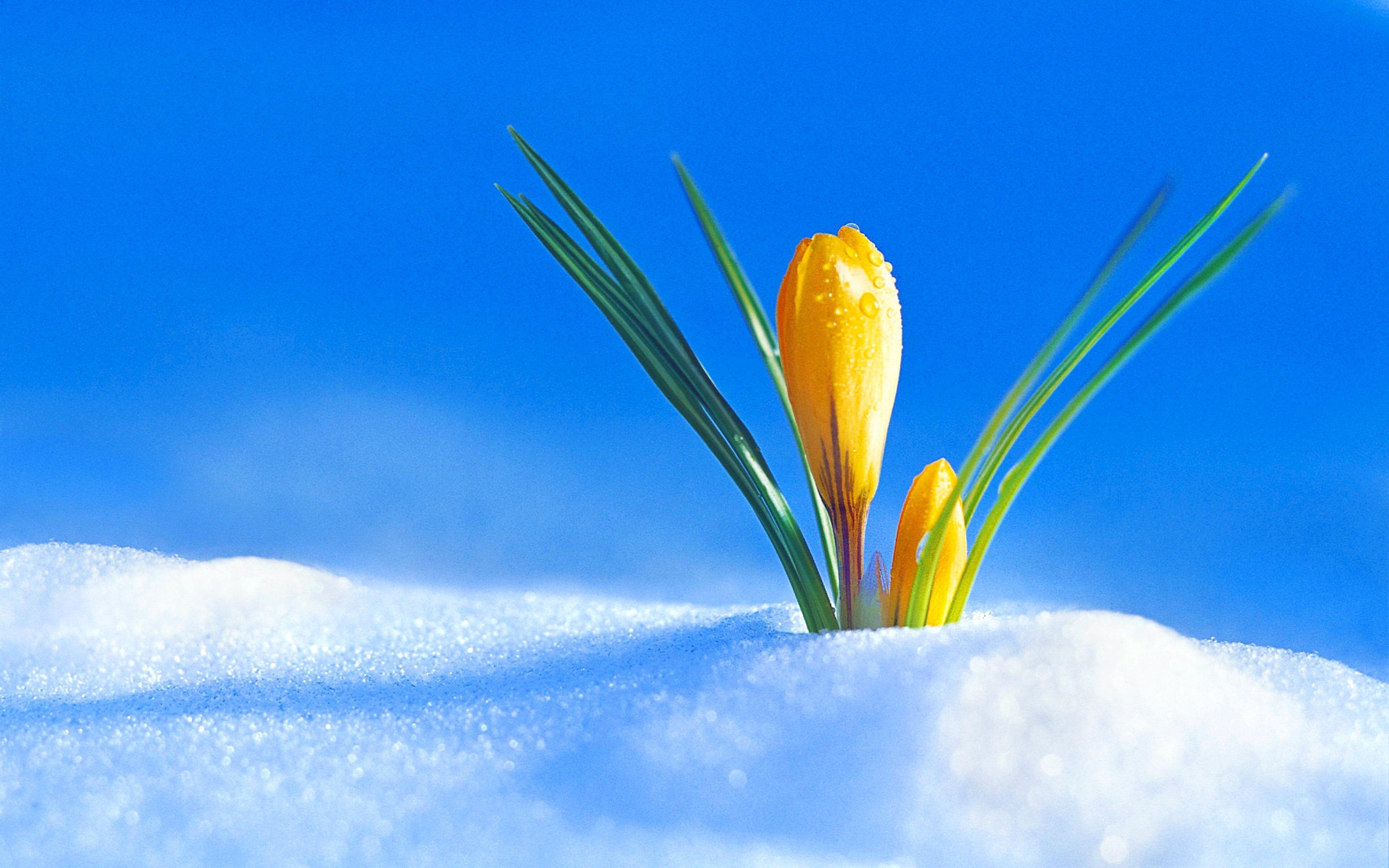 Flowers in Snow Wallpapers , Top Free Flowers in Snow