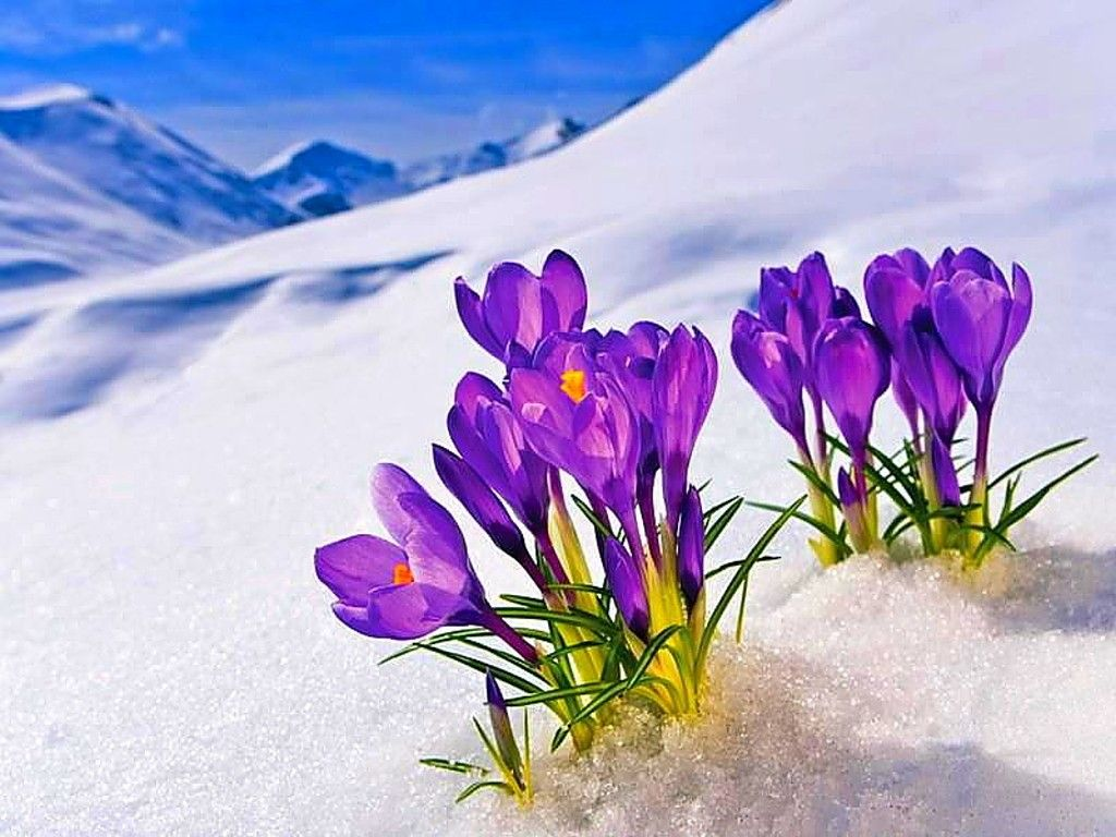 53 Best Free Flowers In Snow Wallpapers Wallpaperaccess