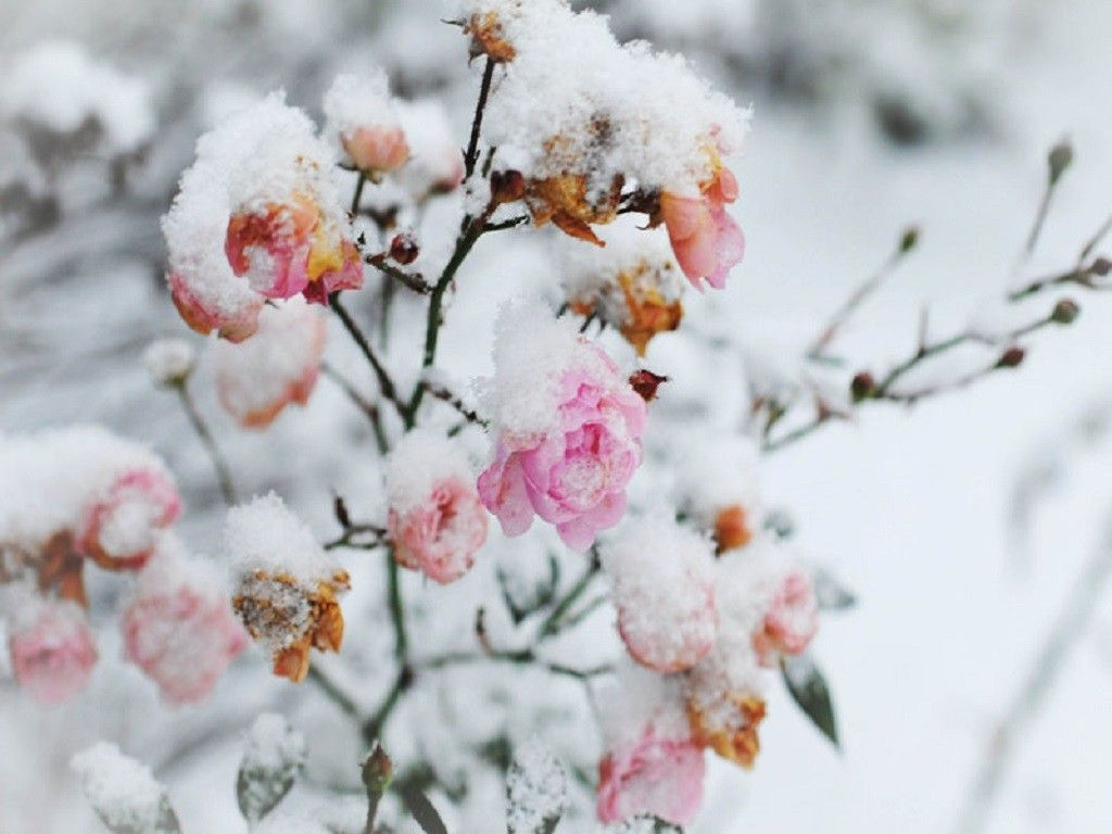 Flowers in snow wallpapers top free flowers in snow - Rose in snow wallpaper ...