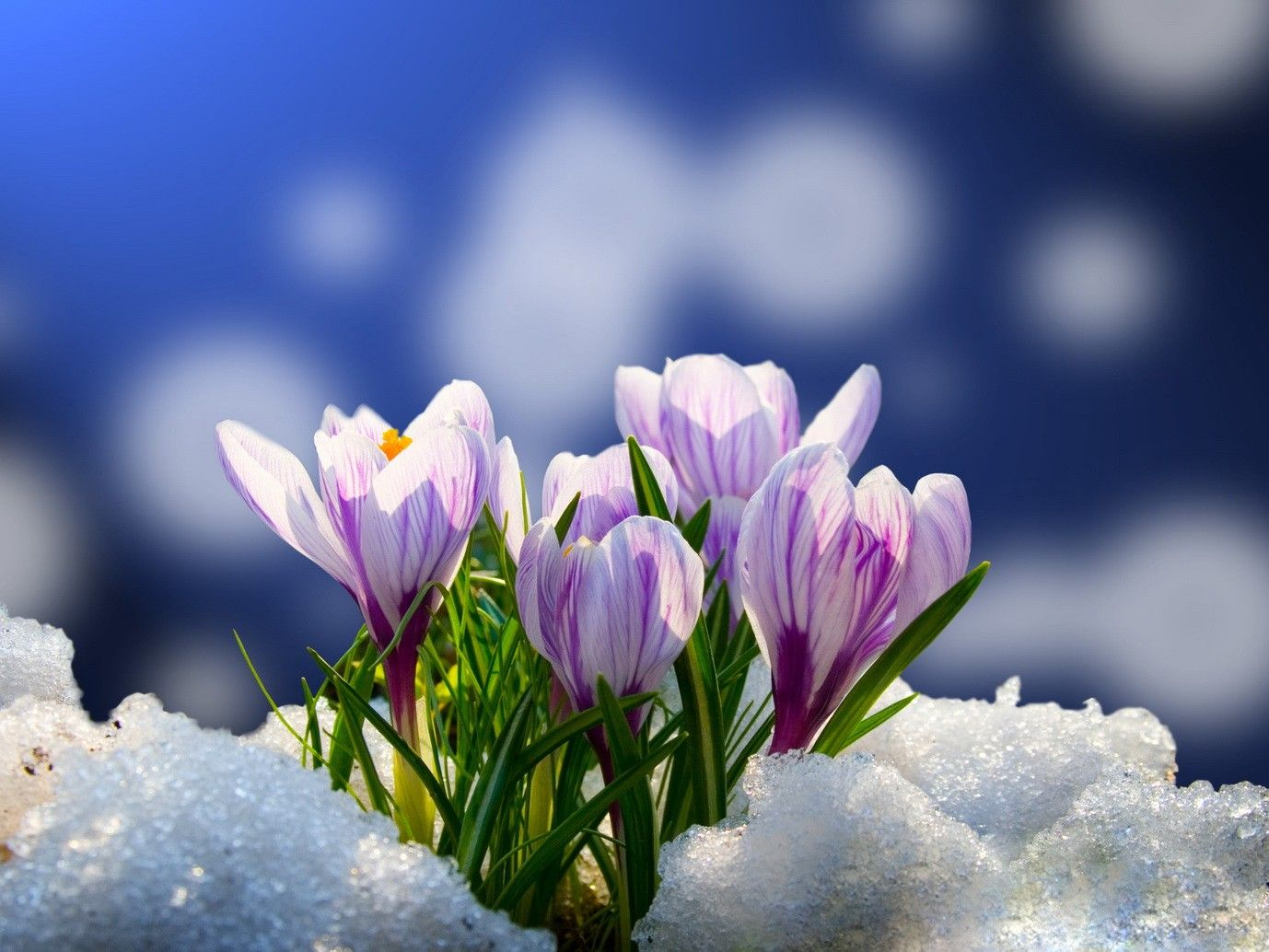 Flowers In Snow Wallpapers Top Free Flowers In Snow Backgrounds