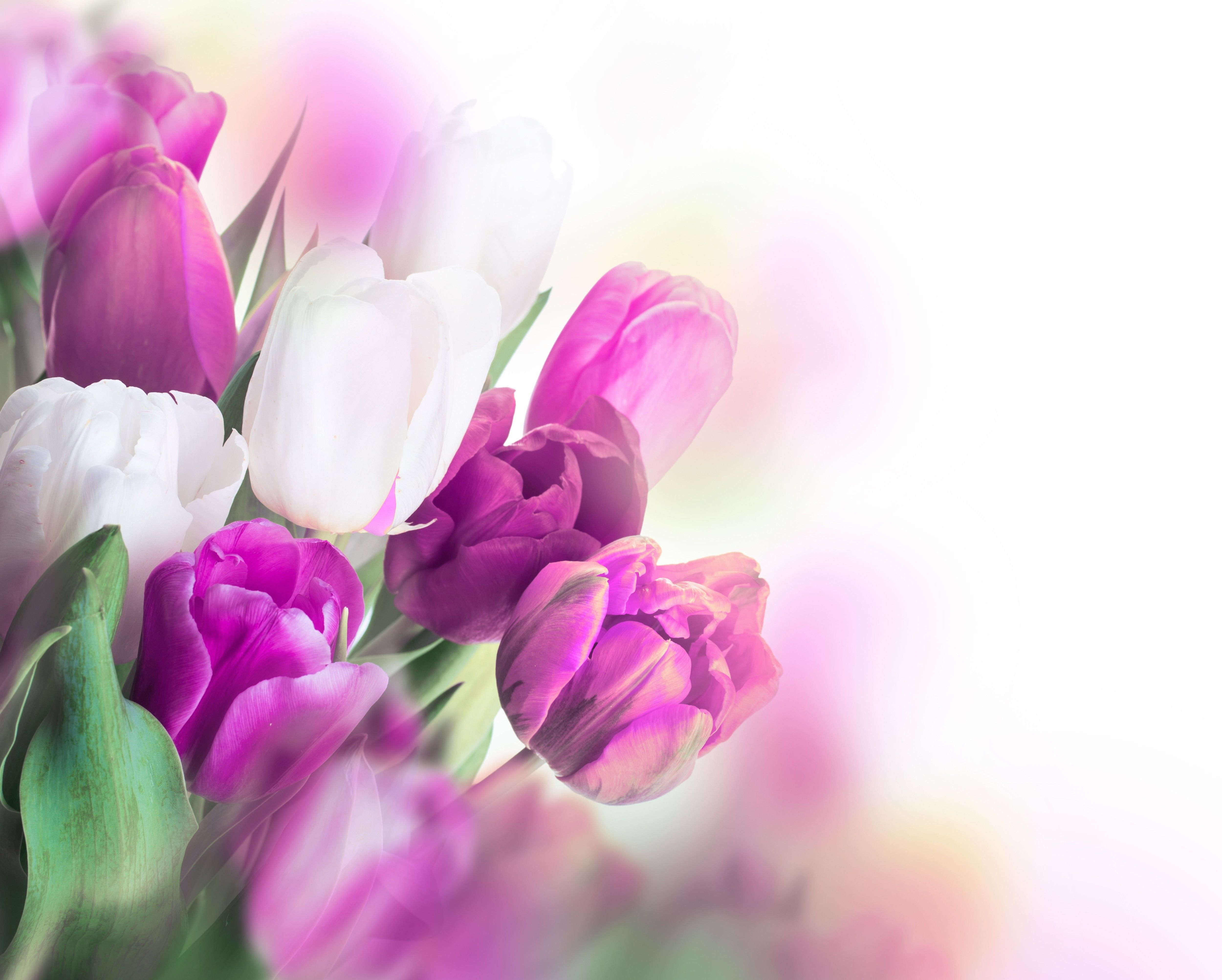 Tulip Wallpapers Top Free Tulip Backgrounds Wallpaperaccess