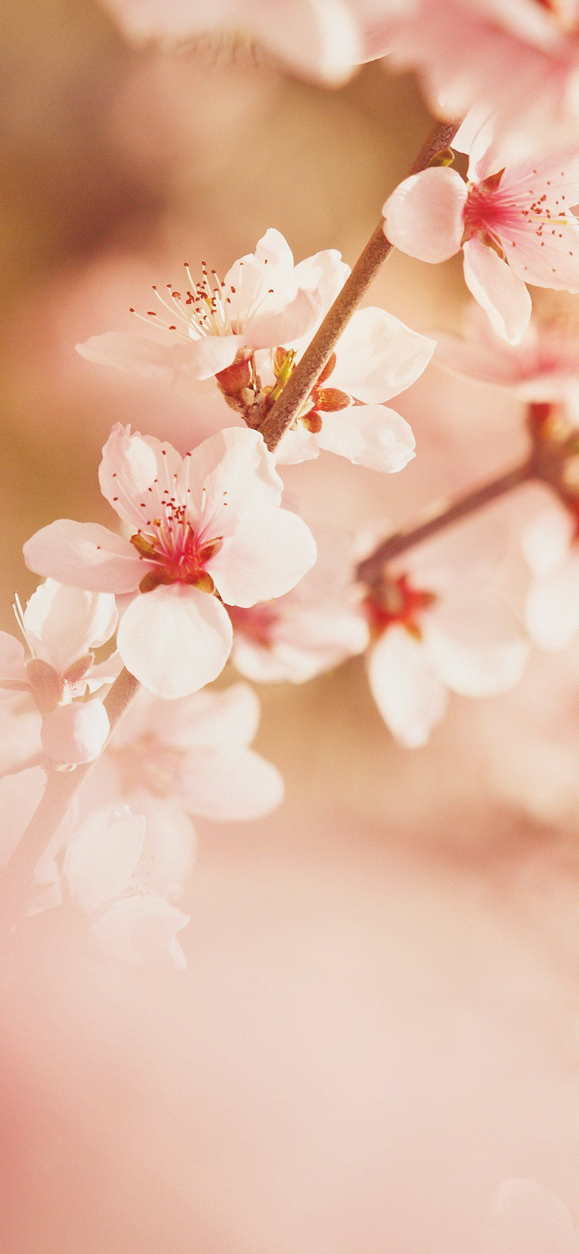 Cherry Blossom Iphone Wallpapers Top Free Cherry Blossom Iphone Backgrounds Wallpaperaccess