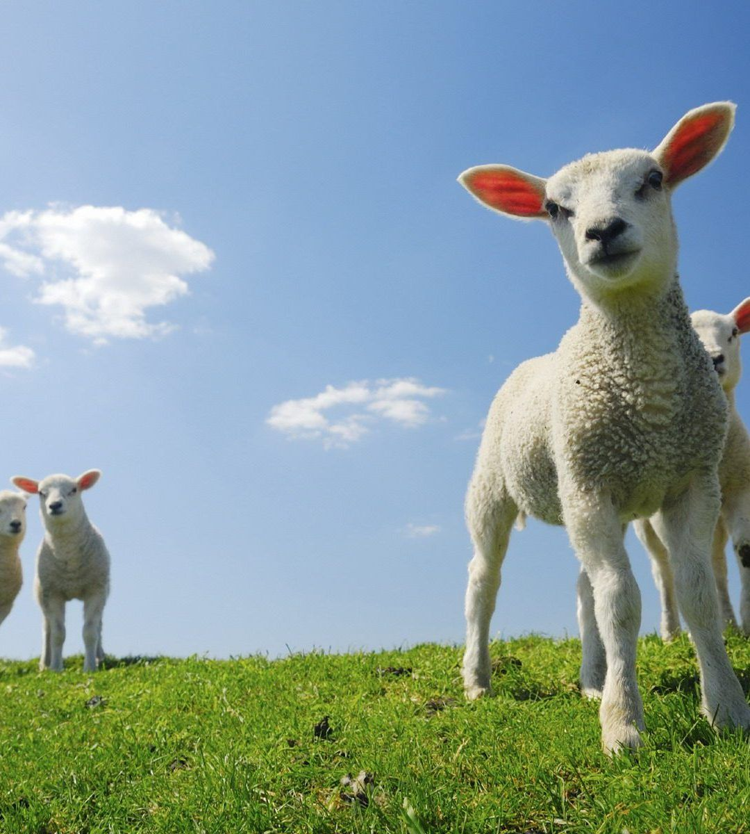 Baby Lamb Wallpapers - Top Free Baby Lamb Backgrounds ...
