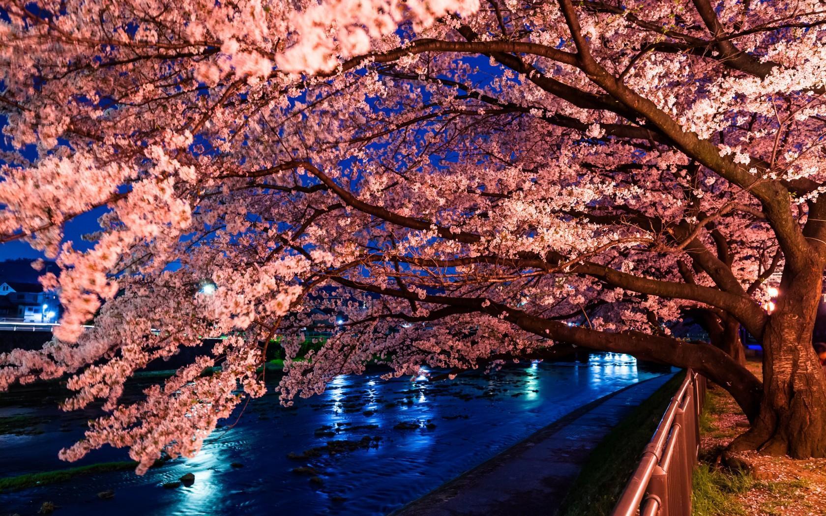 43 Best Free Japan Cherry Blossom Desktop Wallpapers Wallpaperaccess