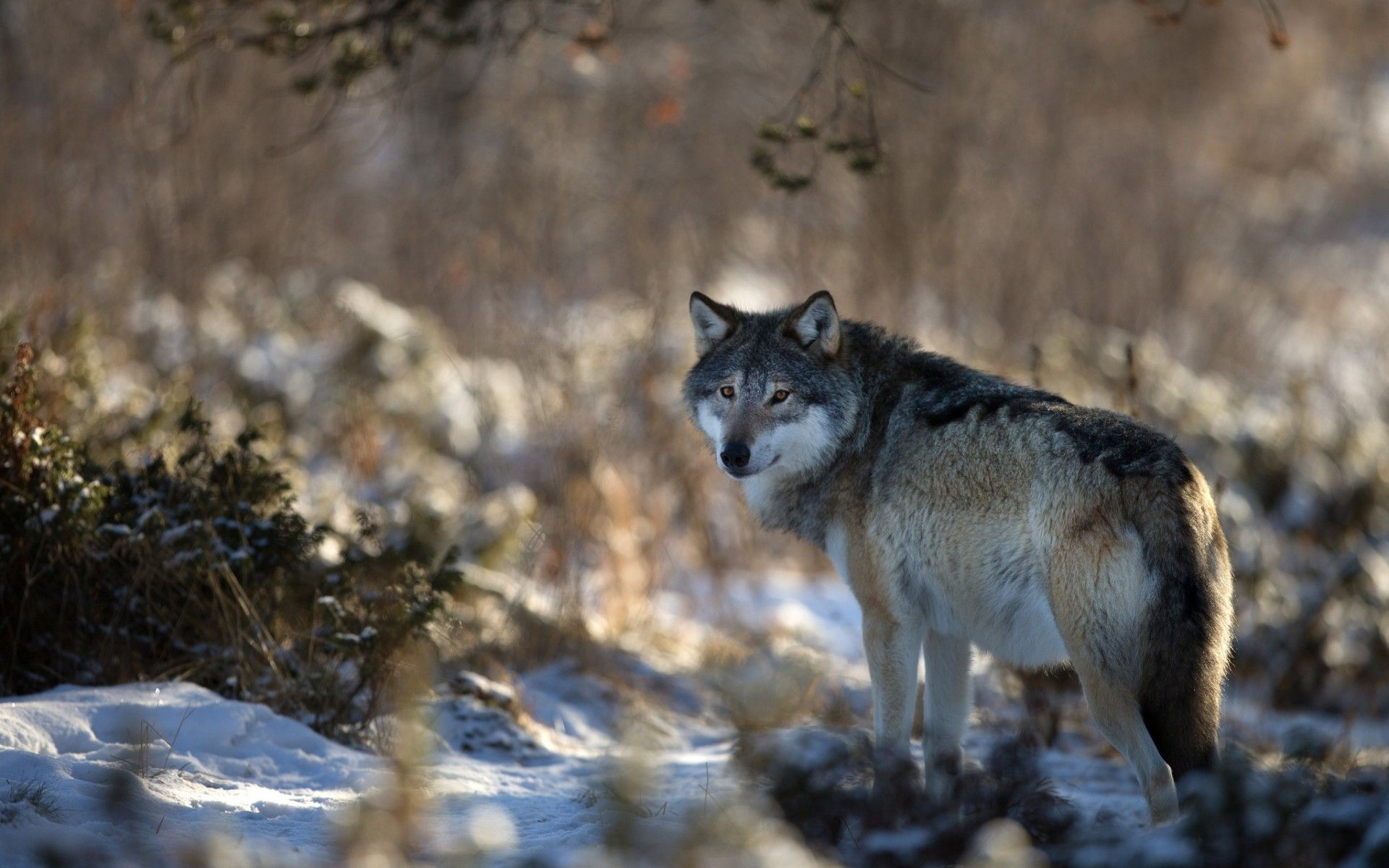 Nature Wolf Wallpapers Top Free Nature Wolf Backgrounds