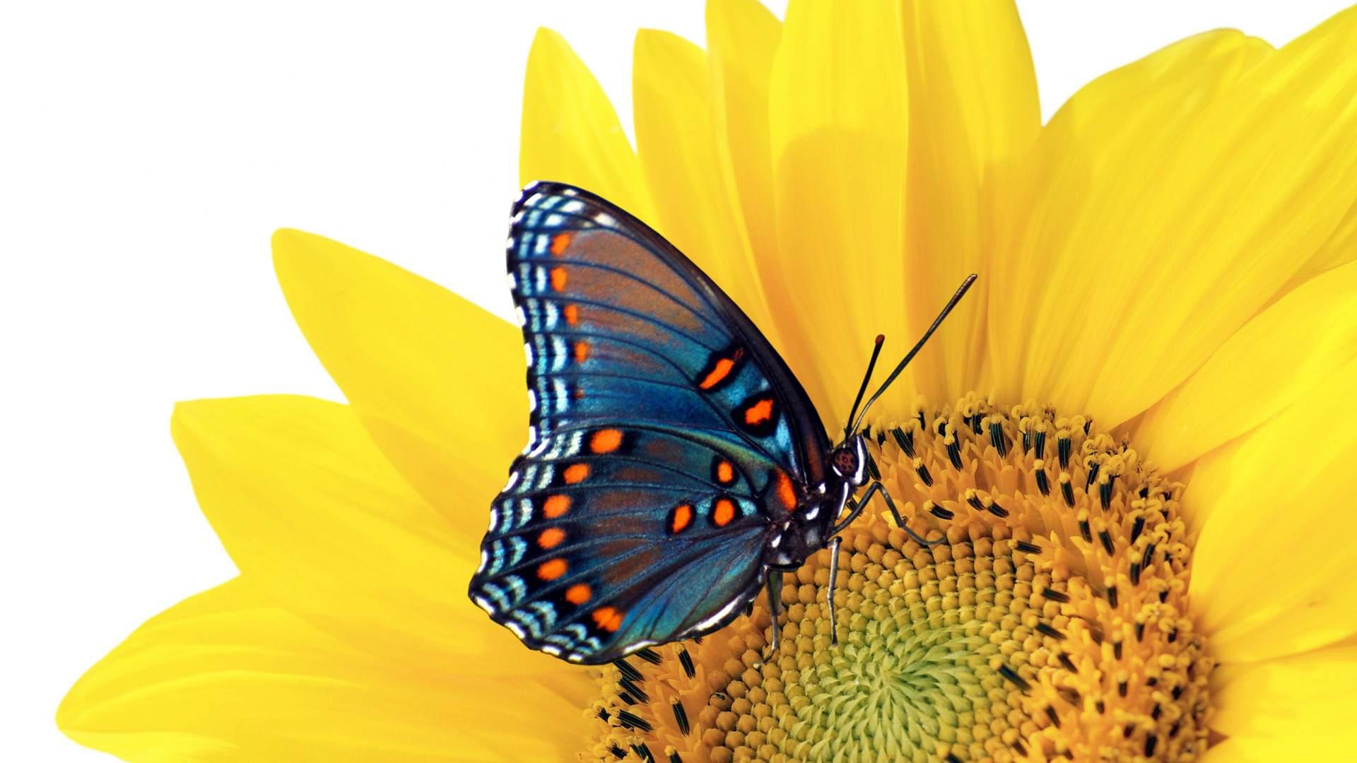 1920x1080 Hình nền con bướm mùa hè