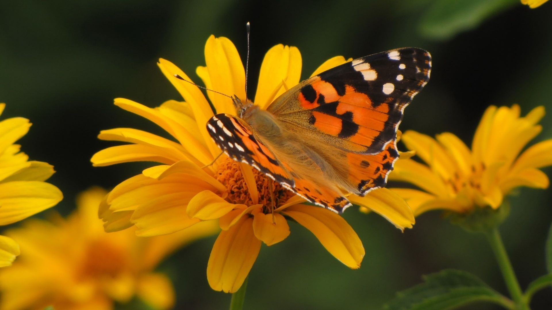 1920x1080 Tải xuống miễn phí Con bướm mùa hè Hình nền máy tính Full HD 1080p [1920x1080] cho Máy tính để bàn, Di động & Máy tính bảng của bạn.  Khám phá Hình ảnh miễn phí Hình nền mùa hè 1080P.  Hình nền mùa hè miễn phí 1024x768, độ phân giải cao mùa hè