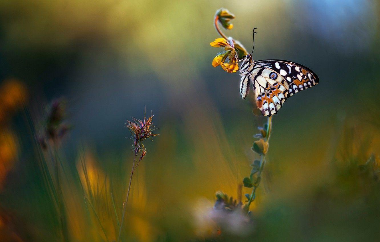 Hình nền bướm mùa hè 1332x850