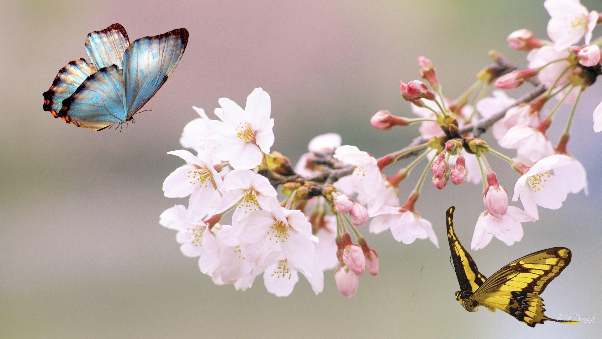 1920x1080 Sakura Tree Butterfly Flowers Nhật Bản Mùa hè miễn phí HD - Hoa anh đào và bướm - Hình nền 1920x1080 - teahub.io