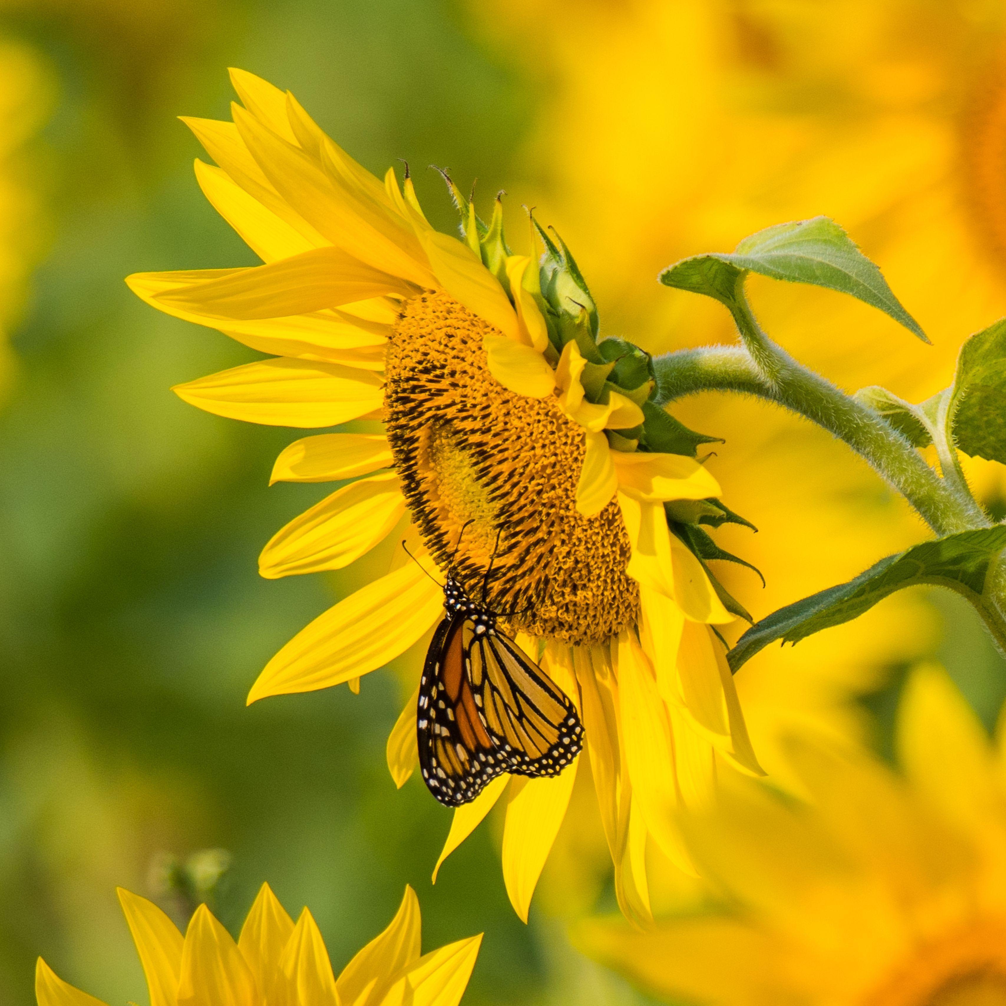 3415x3415 Hình nền hoa hướng dương và bướm