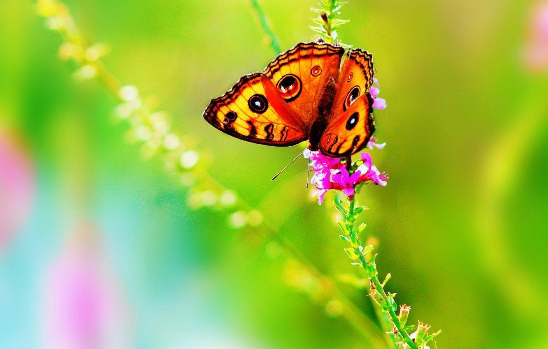 1332x850 Hoa hình nền, mùa hè, màu, thiên nhiên, Con bướm, sáng, Hình ảnh côn trùng cho máy tính để bàn, phần природа