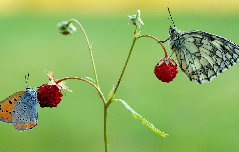 1332x850 Hình nền mùa hè, Vĩ mô, Con bướm, Côn trùng, màu xanh lá, Quả mọng, lý lịch, Con bướm, hai, dâu tây, đôi, Đỏ, một cặp, Duo, Motley, Hình ảnh hai con bướm cho máy tính để bàn, phần макро