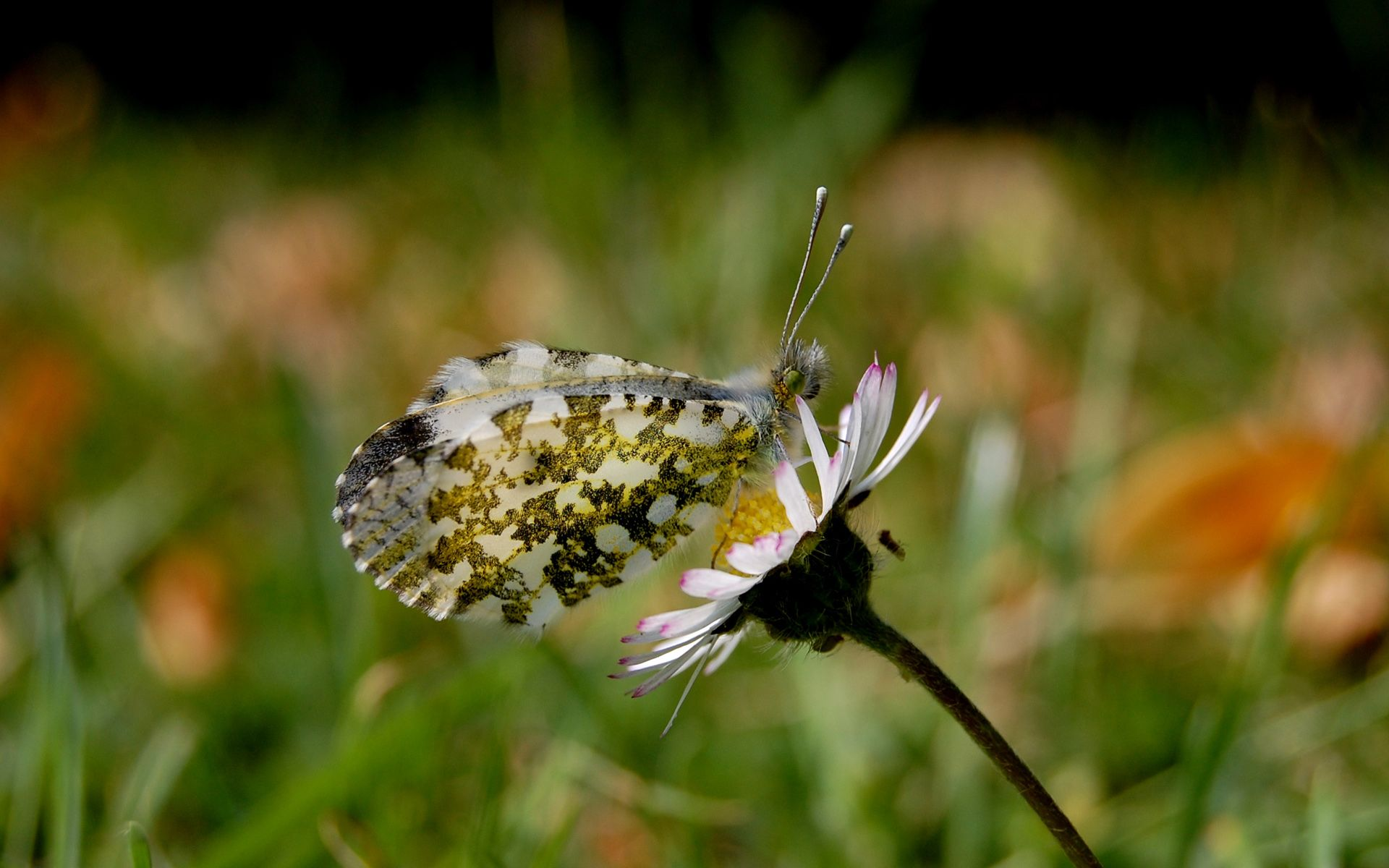 Con bướm mùa hè 1920x1200 của Banksie
