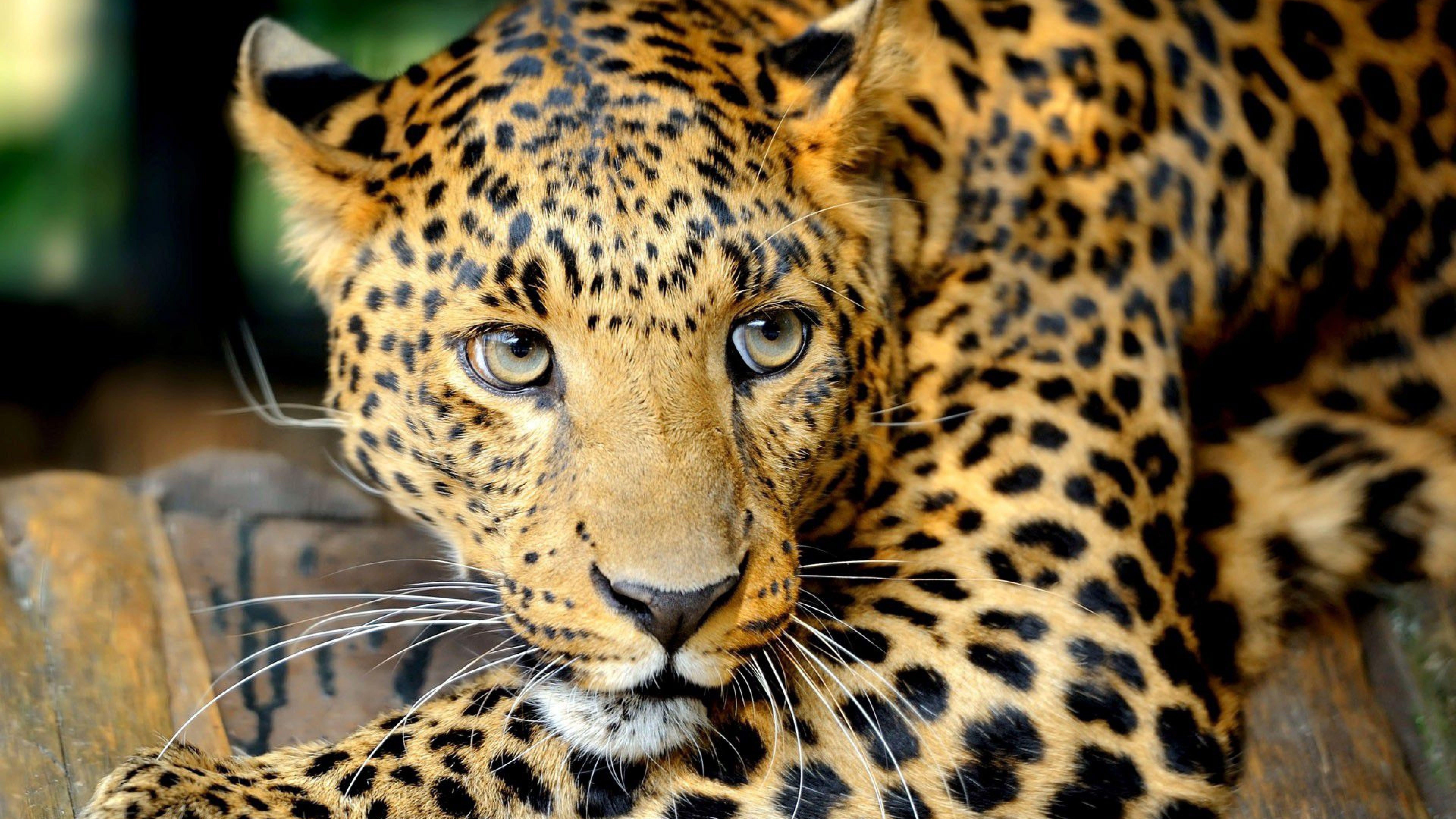 8k Animal Wallpaper Download: 8K Tiger UHD Wallpapers