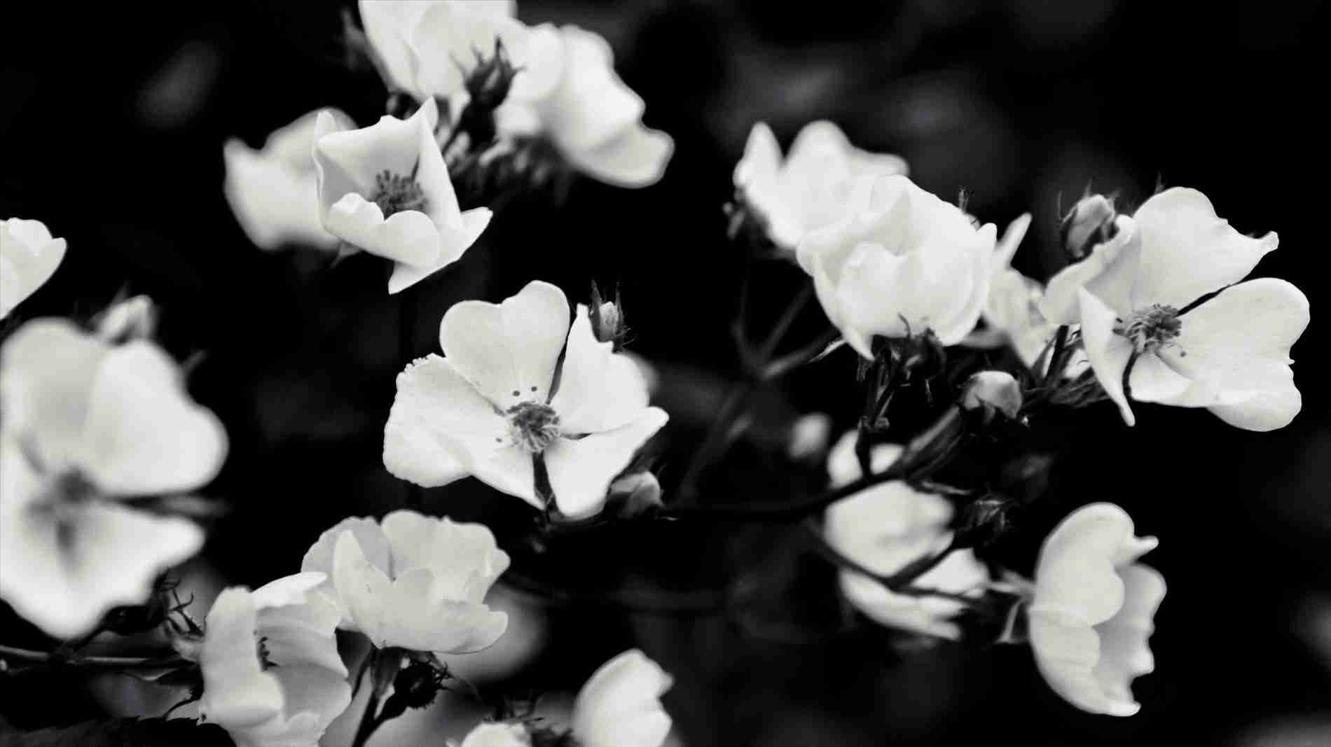White Flower Laptop Wallpapers Top Free White Flower Laptop Backgrounds Wallpaperaccess