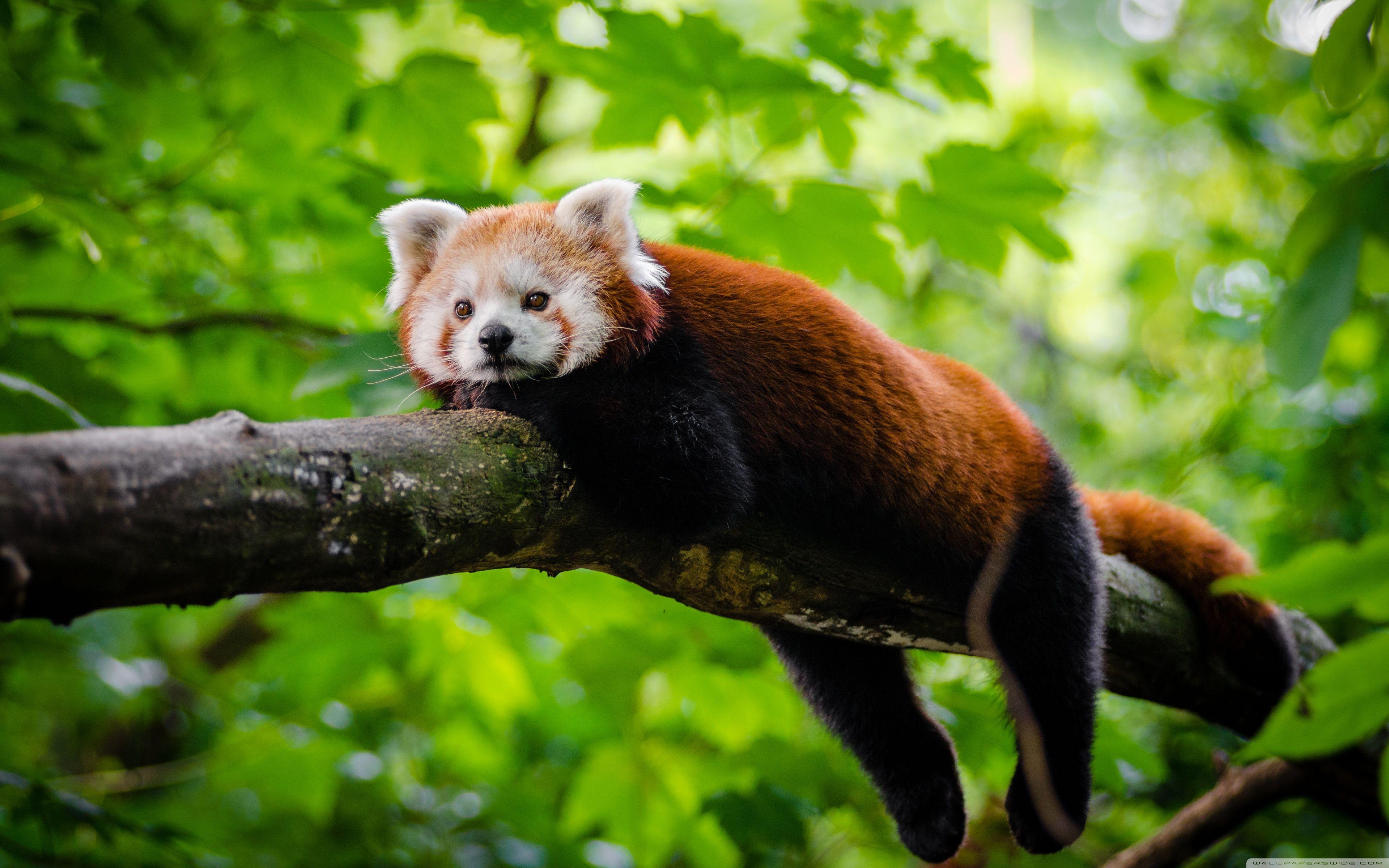 Red Panda Cute Wallpapers - Top Free Red Panda Cute ...