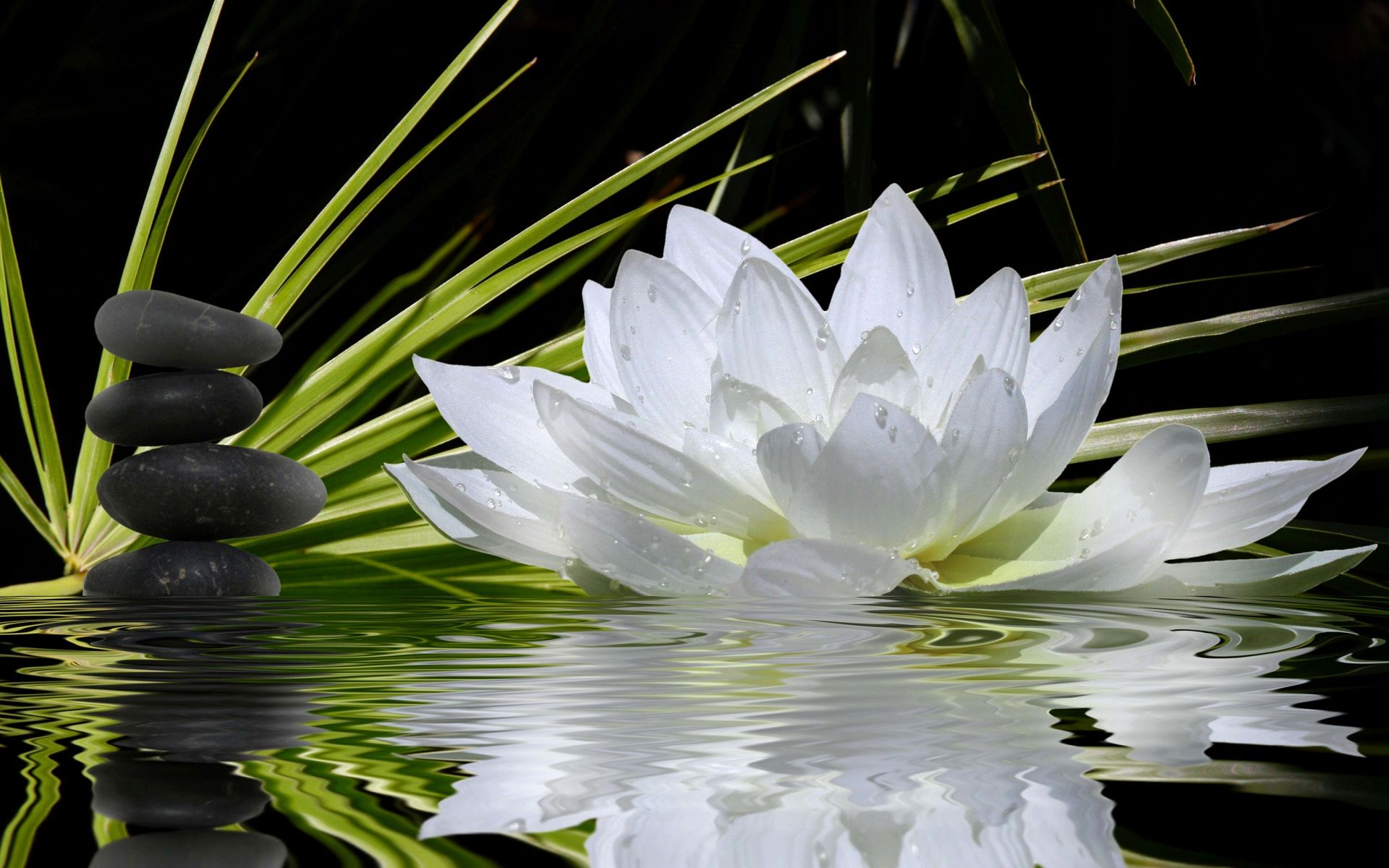 Water Lotus Wallpapers Top Free Water Lotus Backgrounds