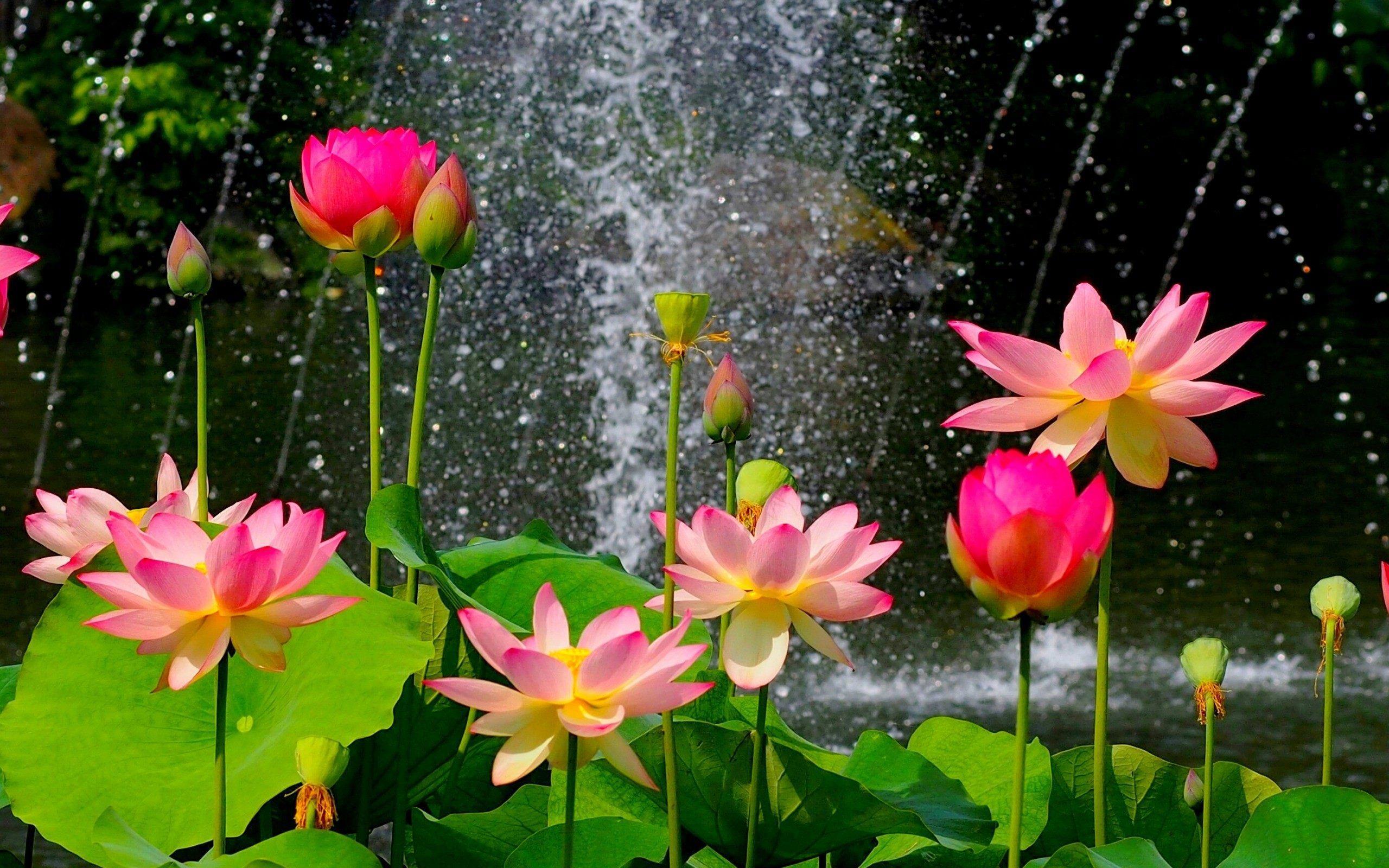 Water Lotus Wallpapers Top Free Water Lotus Backgrounds