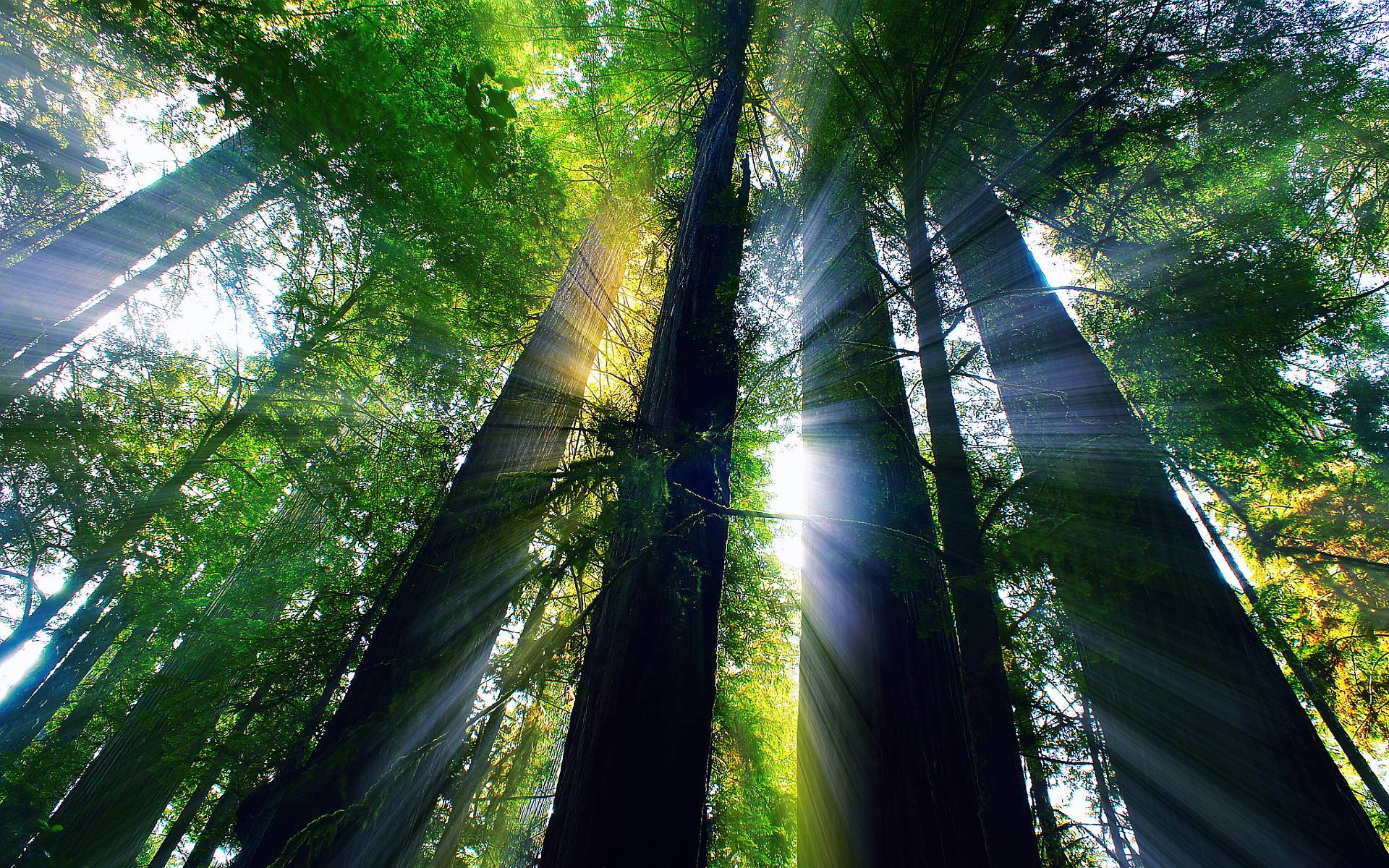 Giant Redwood Forest Wallpapers Top Free Giant Redwood