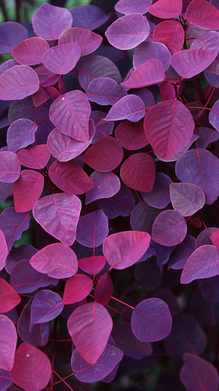 Purple iPhone Wallpapers - Top Free ...