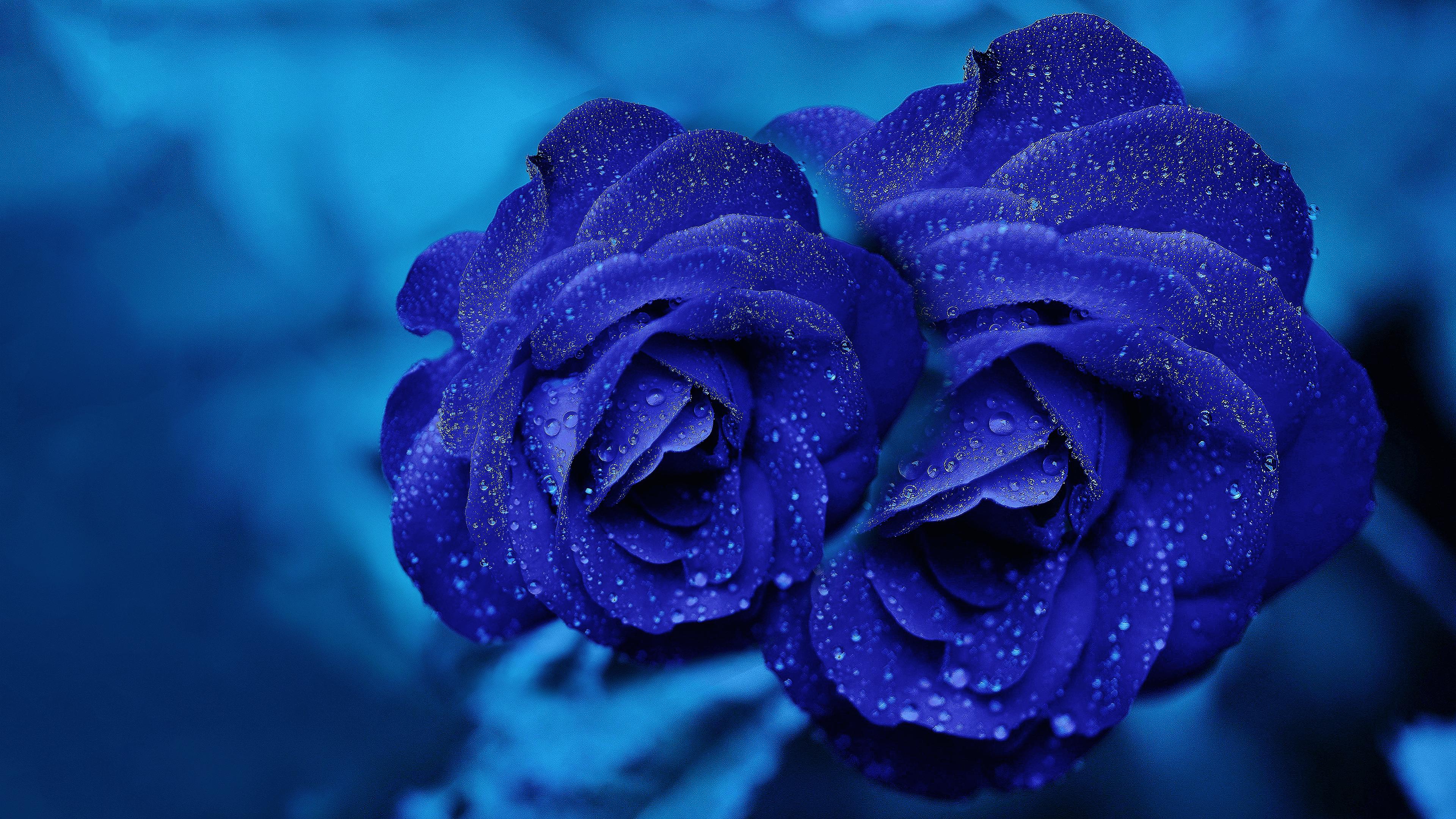 4k rose wallpapers top free 4k rose backgrounds - Blue rose hd wallpaper download ...