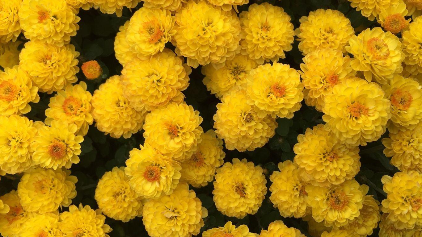 1366x768 Tải xuống hình nền 1366x768 hoa cúc, hoa, màu vàng