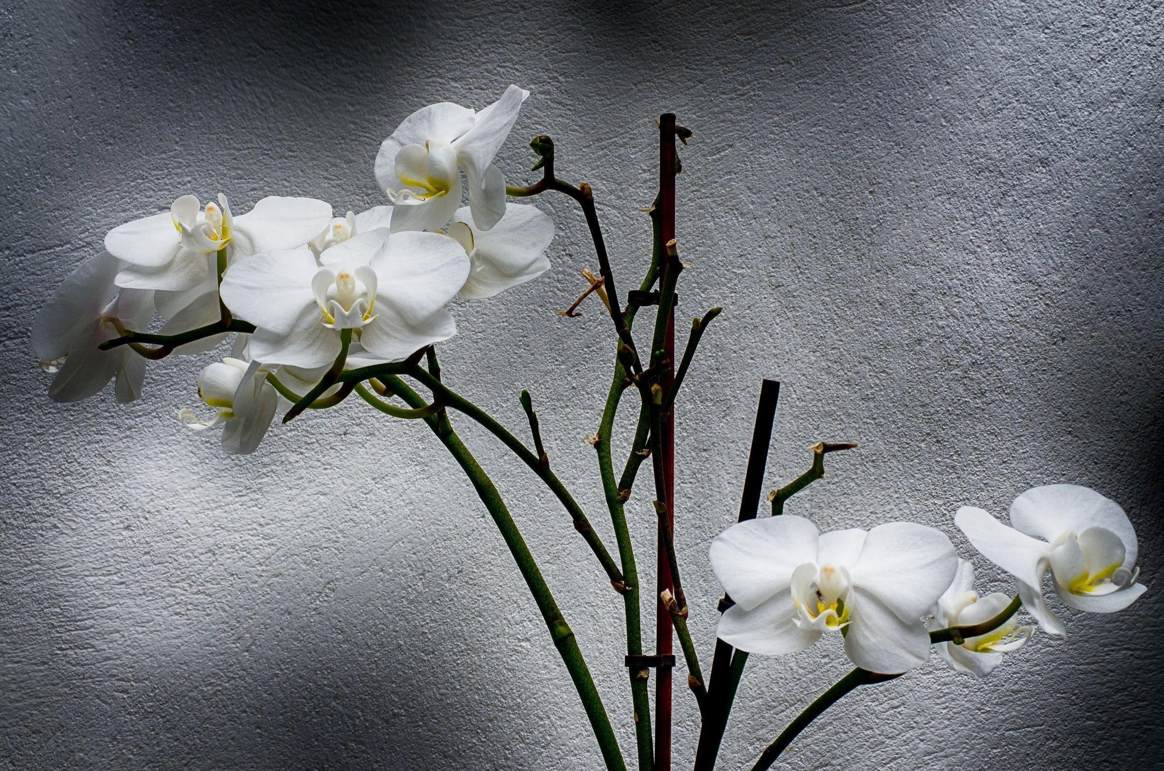 залы ресторане, фото белая ветка орхидеи для