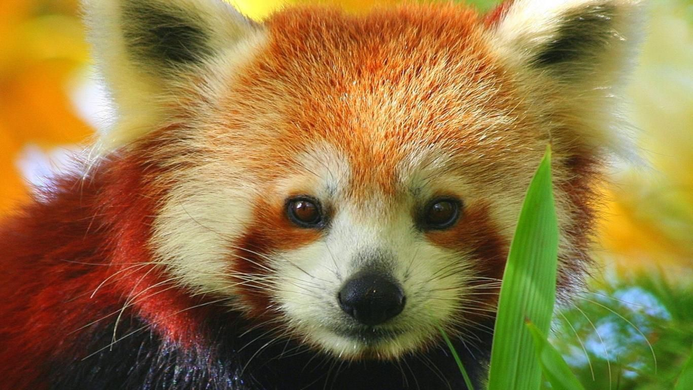 Cute Baby Red Pandas Wallpapers Top Free Cute Baby Red Pandas Backgrounds Wallpaperaccess