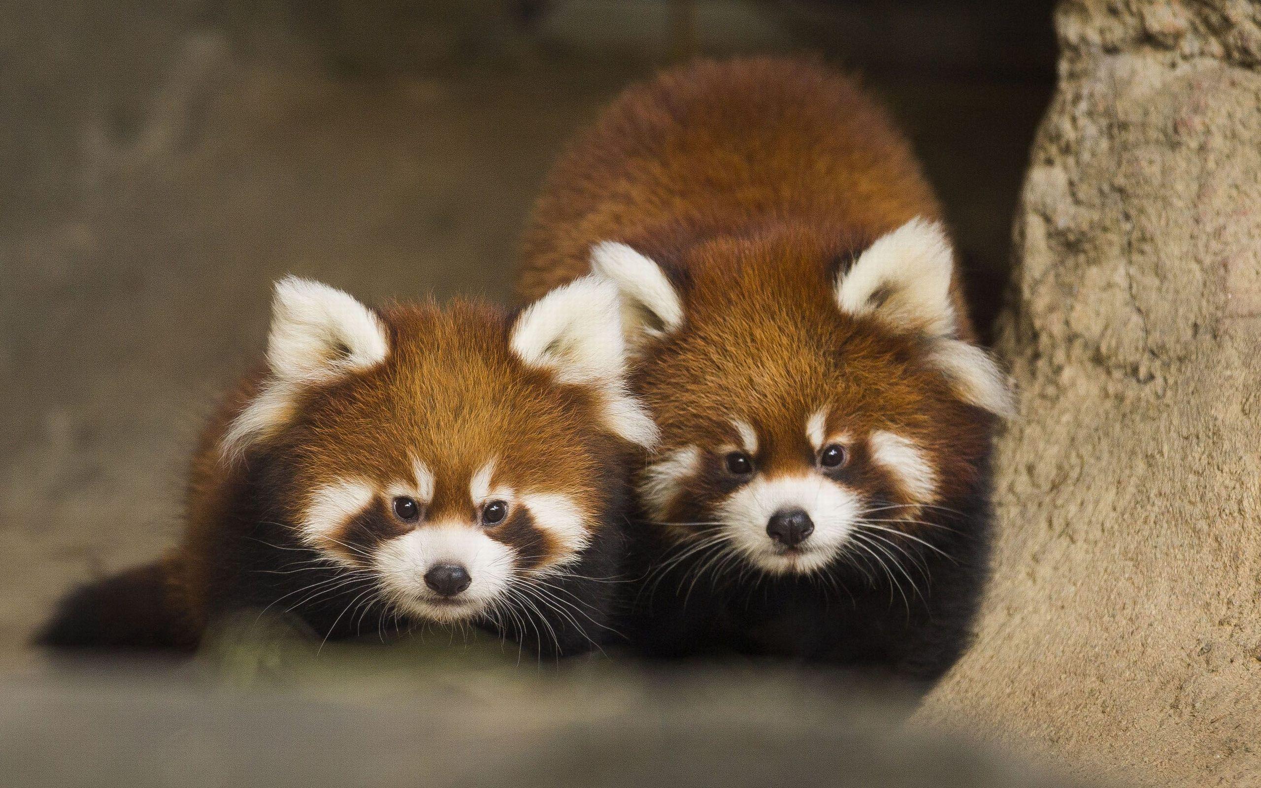 54 Best Free Red Panda Cute Wallpapers WallpaperAccess