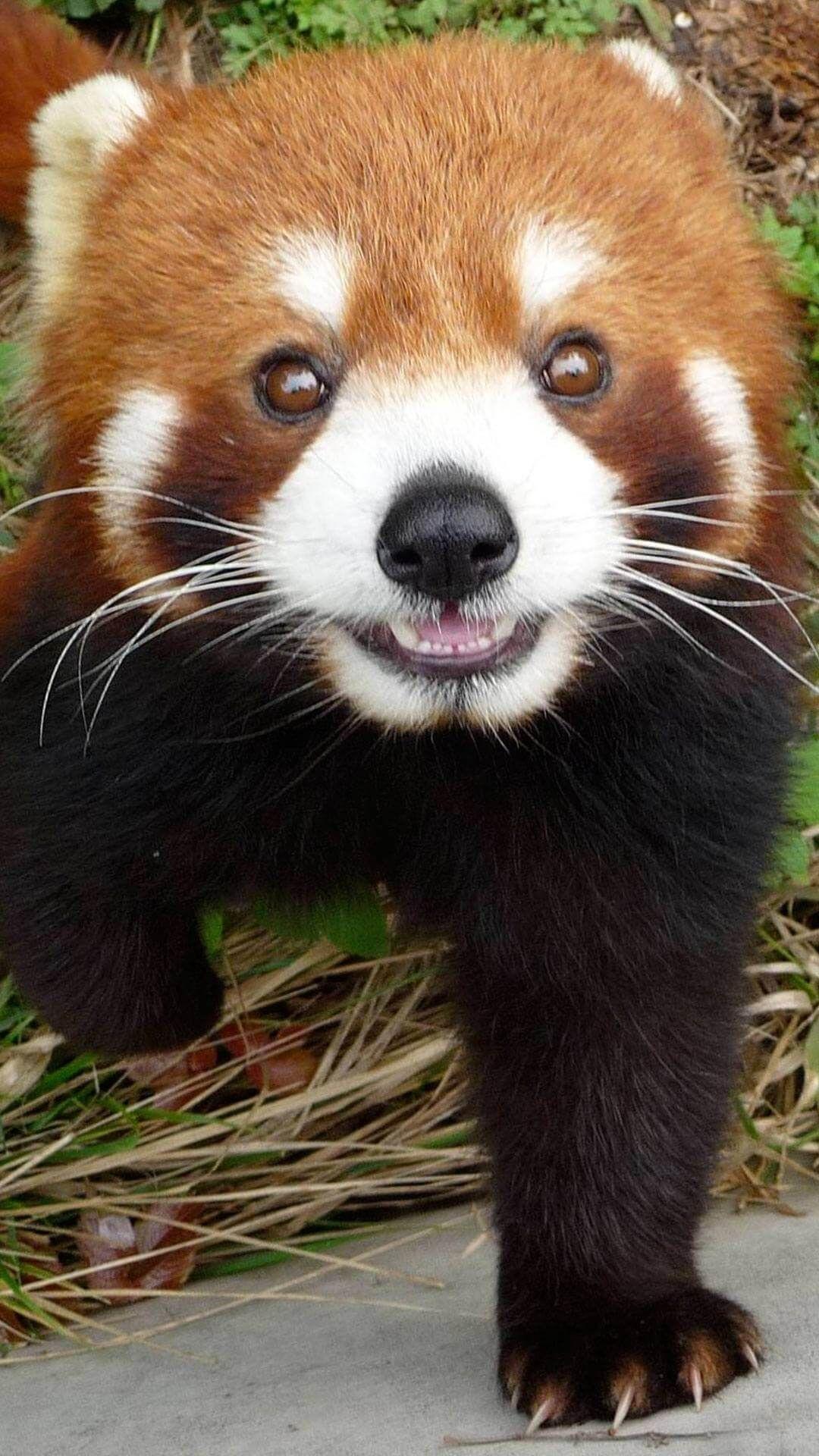37 Best Free Cute Baby Red Pandas Wallpapers