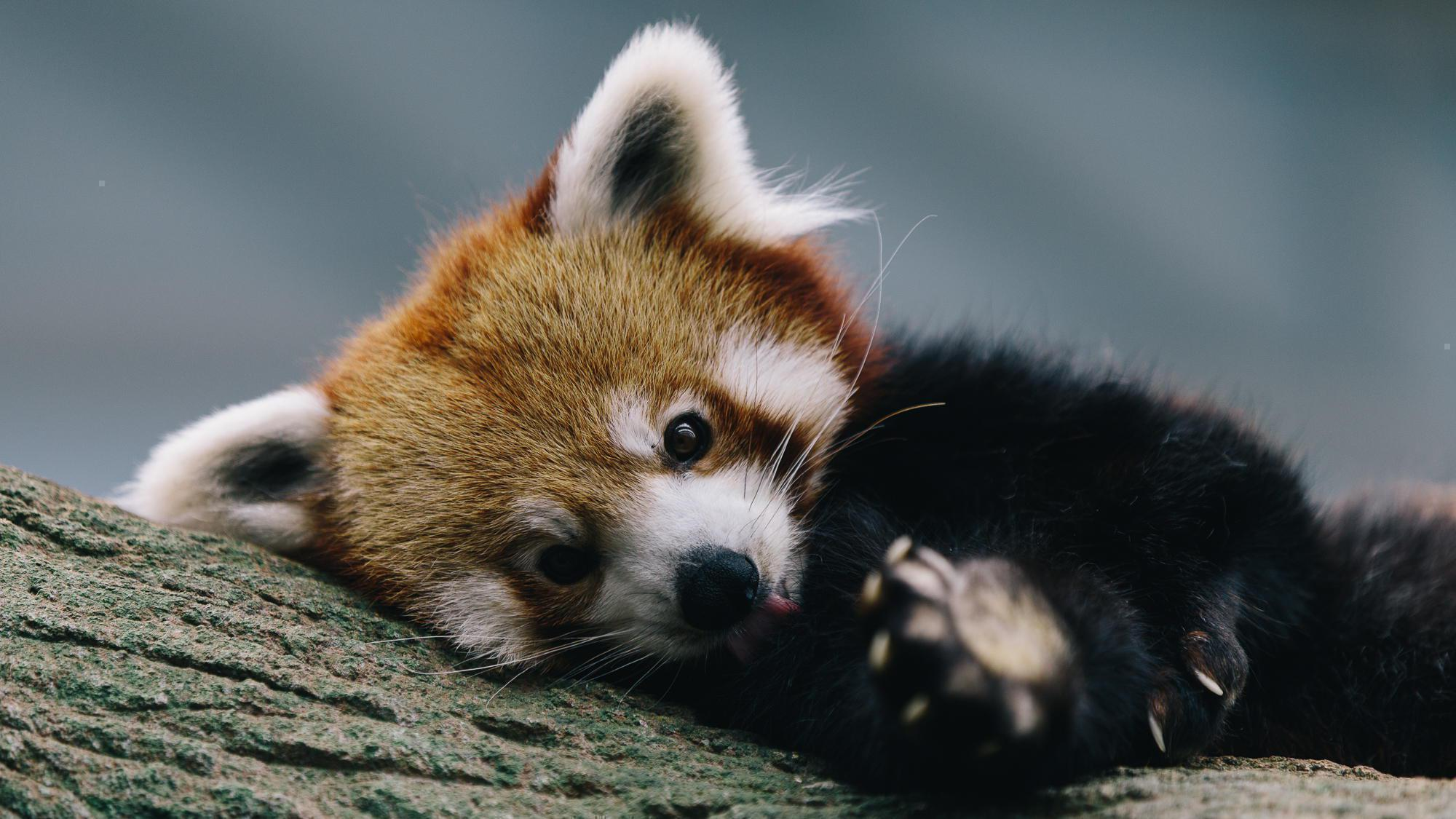 1920x1080 Cute Baby Panda Wallpaper 65 Images