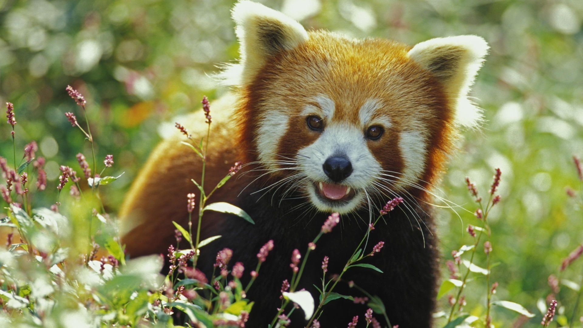 Cute Baby Red Pandas Wallpapers - Top Free Cute Baby Red ...