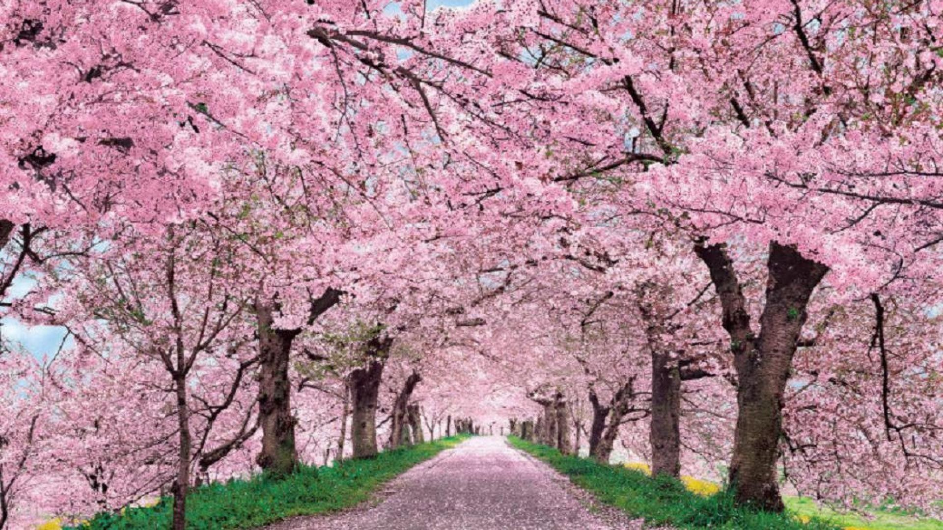 Sakura Tree Wallpapers Top Free Sakura Tree Backgrounds Wallpaperaccess