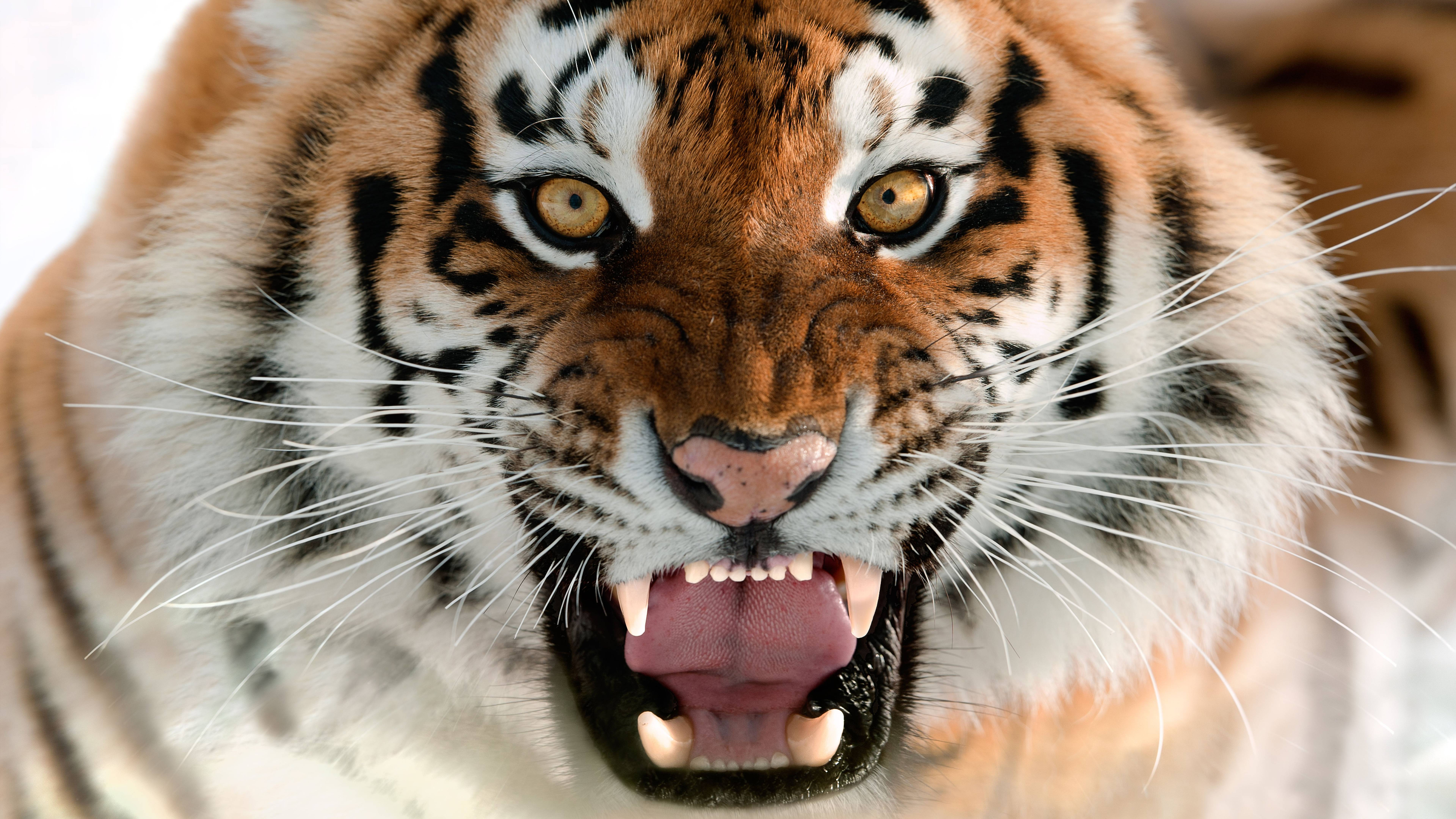 8k Tiger Uhd Wallpapers Top Free 8k Tiger Uhd Backgrounds Wallpaperaccess