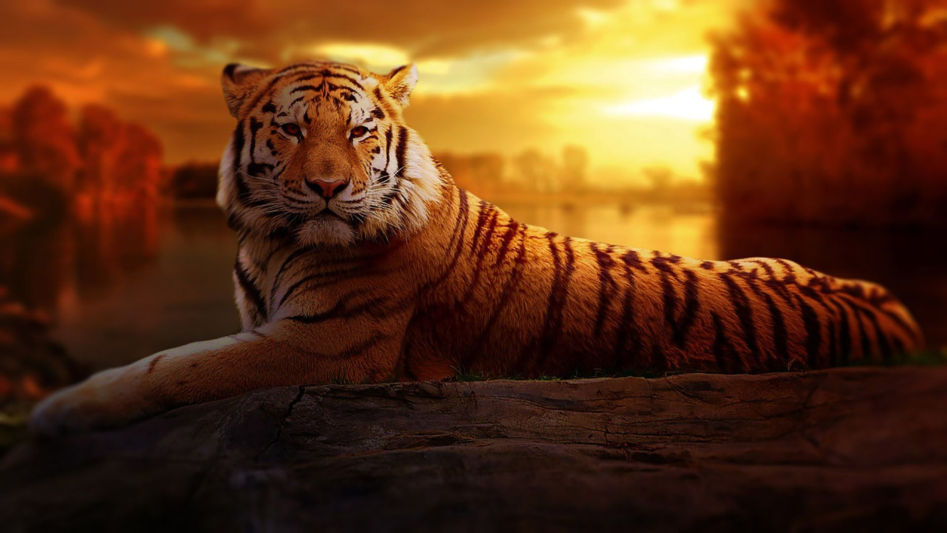 8k Tiger Uhd Wallpapers Top Free 8k Tiger Uhd Backgrounds