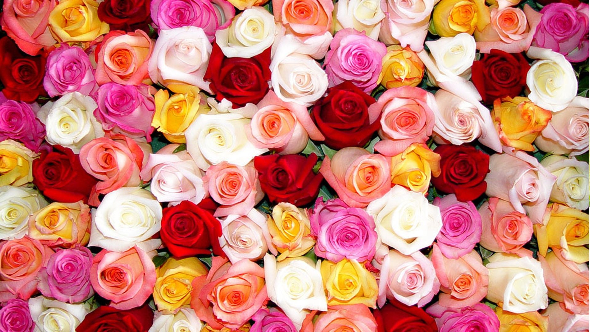 Colorful Roses Desktop Wallpapers Top Free Colorful Roses