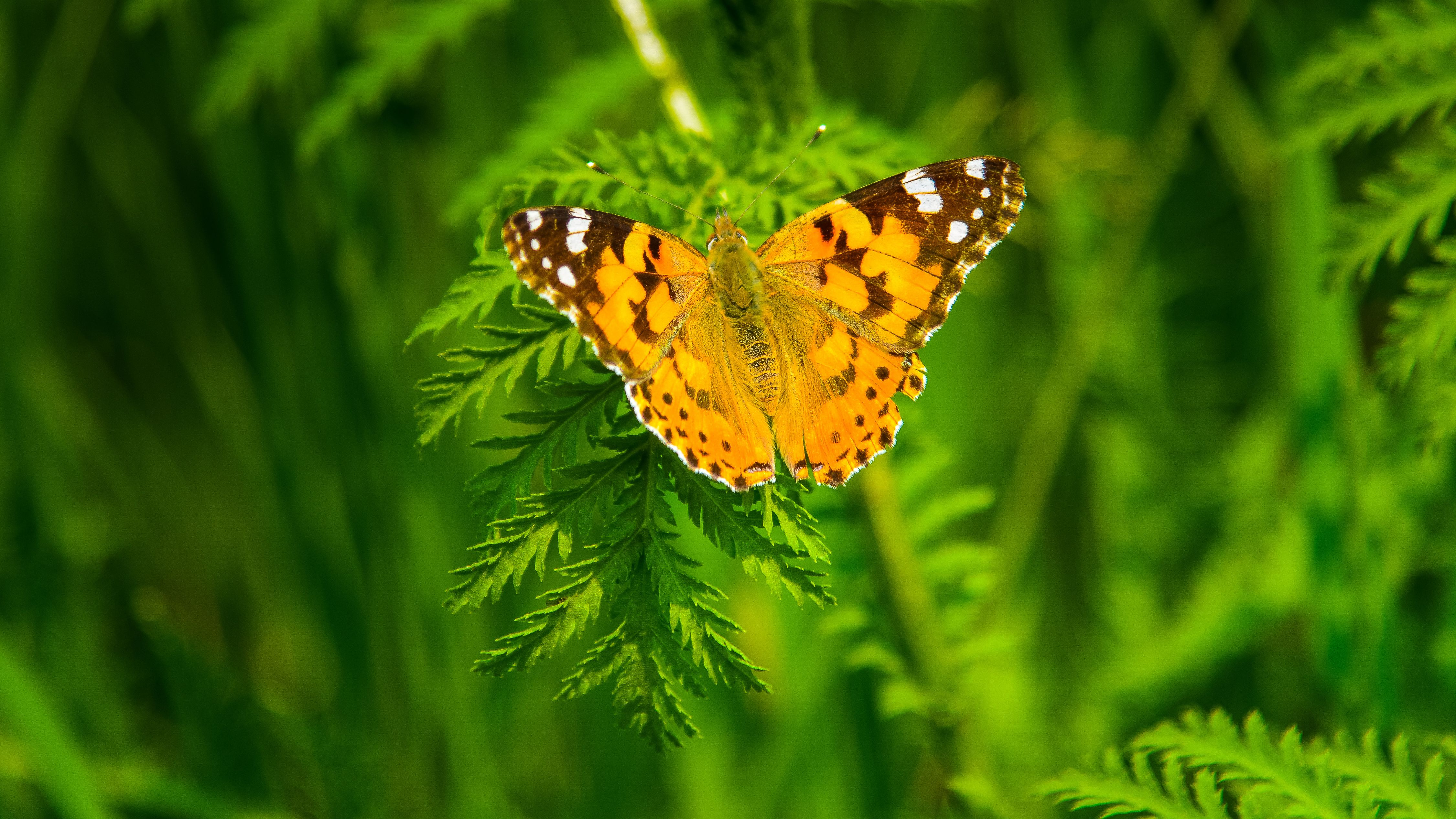 4k Butterfly Wallpapers Top Free 4k Butterfly Backgrounds Wallpaperaccess