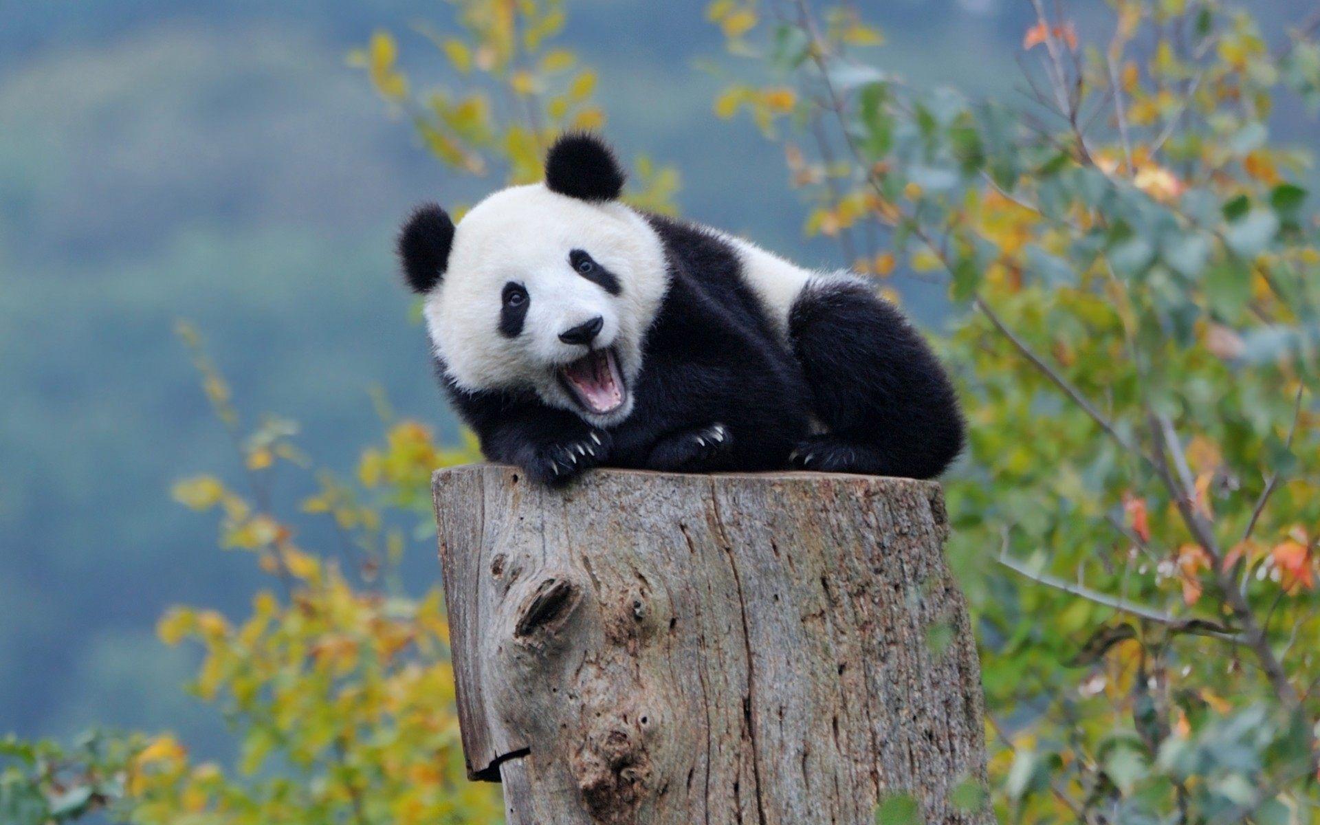 Cute Baby Pandas Desktop Wallpapers Top Free Cute Baby Pandas Desktop Backgrounds Wallpaperaccess