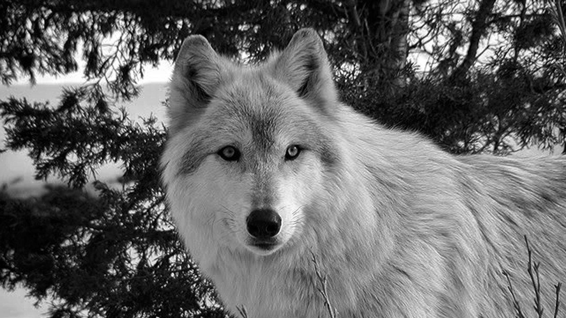 Evil White Wolf Wallpapers Top Free Evil White Wolf Backgrounds Wallpaperaccess