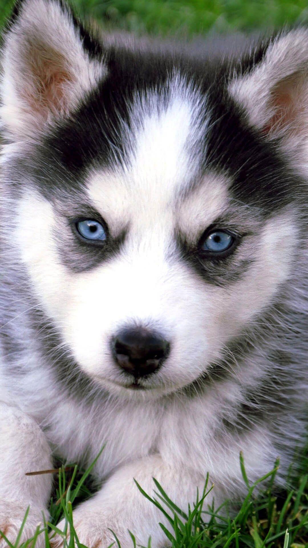 Husky Puppies Wallpapers Top Free Husky Puppies Backgrounds Wallpaperaccess