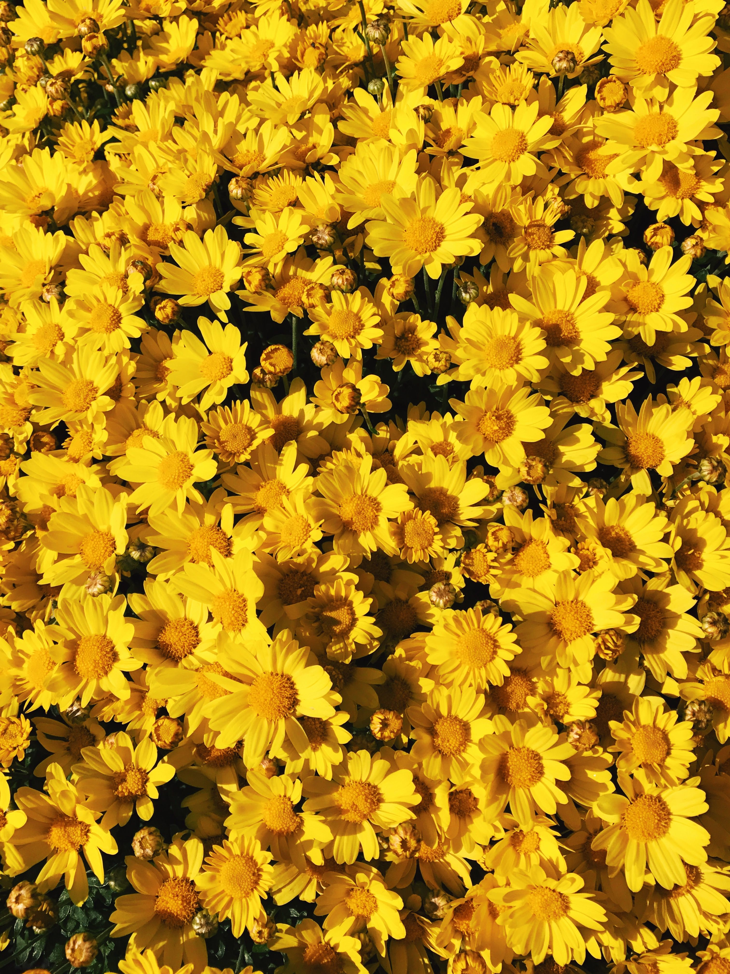 Get Yellow Flowers Wallpaper Aesthetic JPG