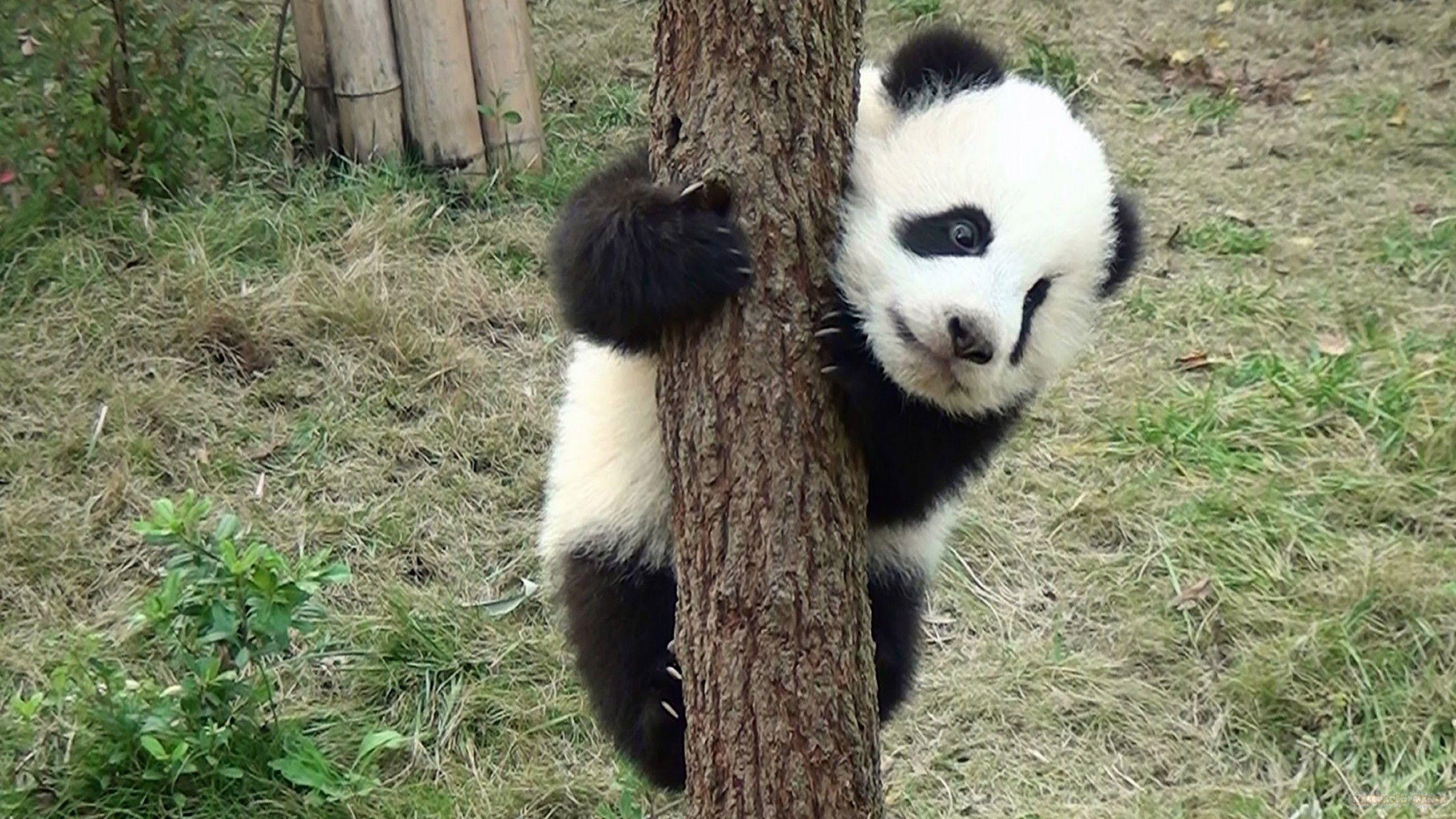 5k Hd Panda Wallpapers Top Free 5k Hd Panda Backgrounds