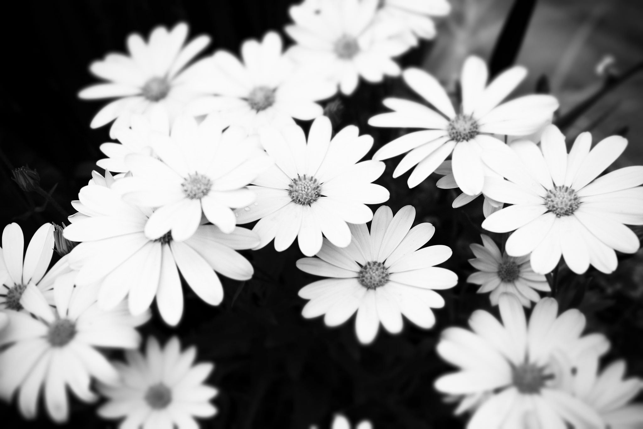 Black And White Aesthetic Flower Wallpapers Top Free Black And