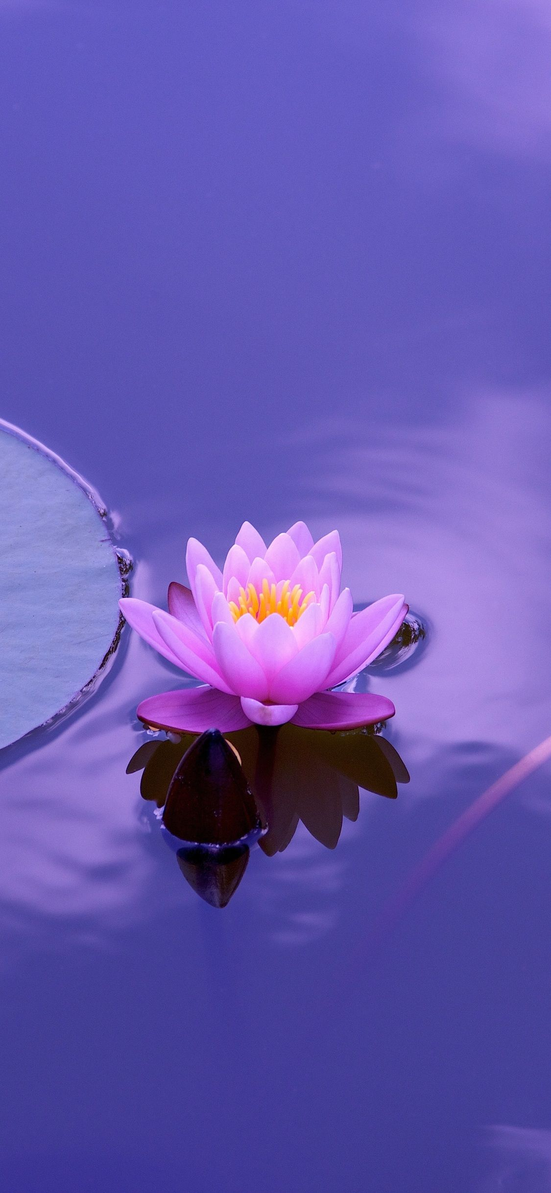 Iphone Lotus Wallpapers Top Free Iphone Lotus Backgrounds