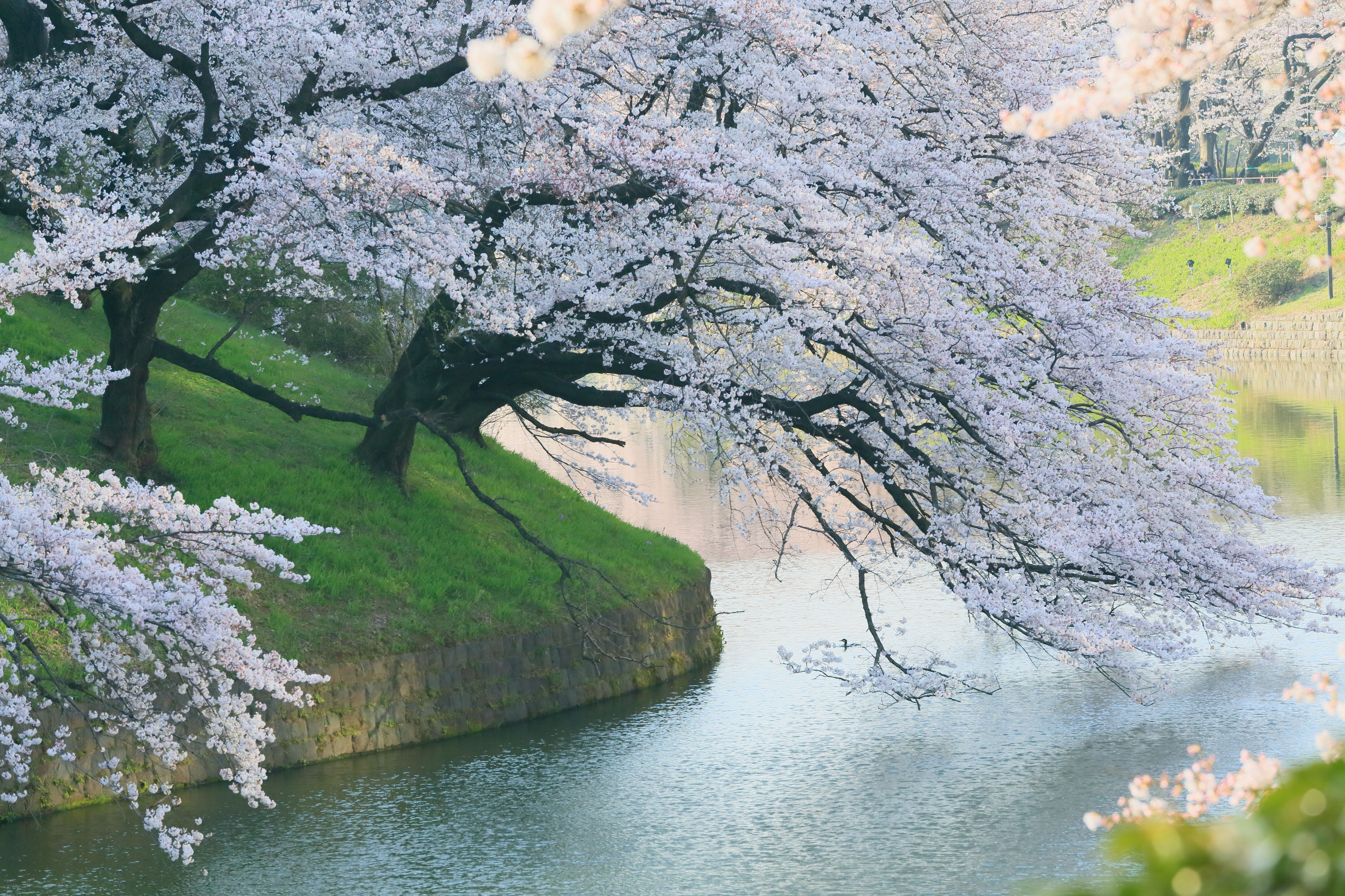 Japan Cherry Blossom Wallpapers Top Free Japan Cherry