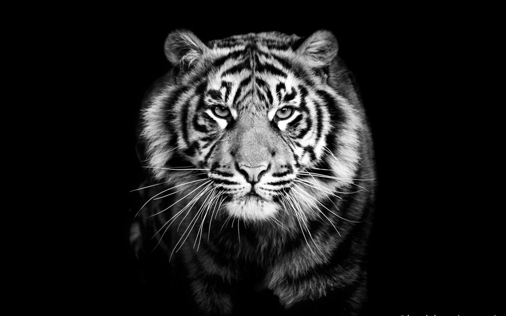 Black Tiger Wallpapers Top Free Black Tiger Backgrounds