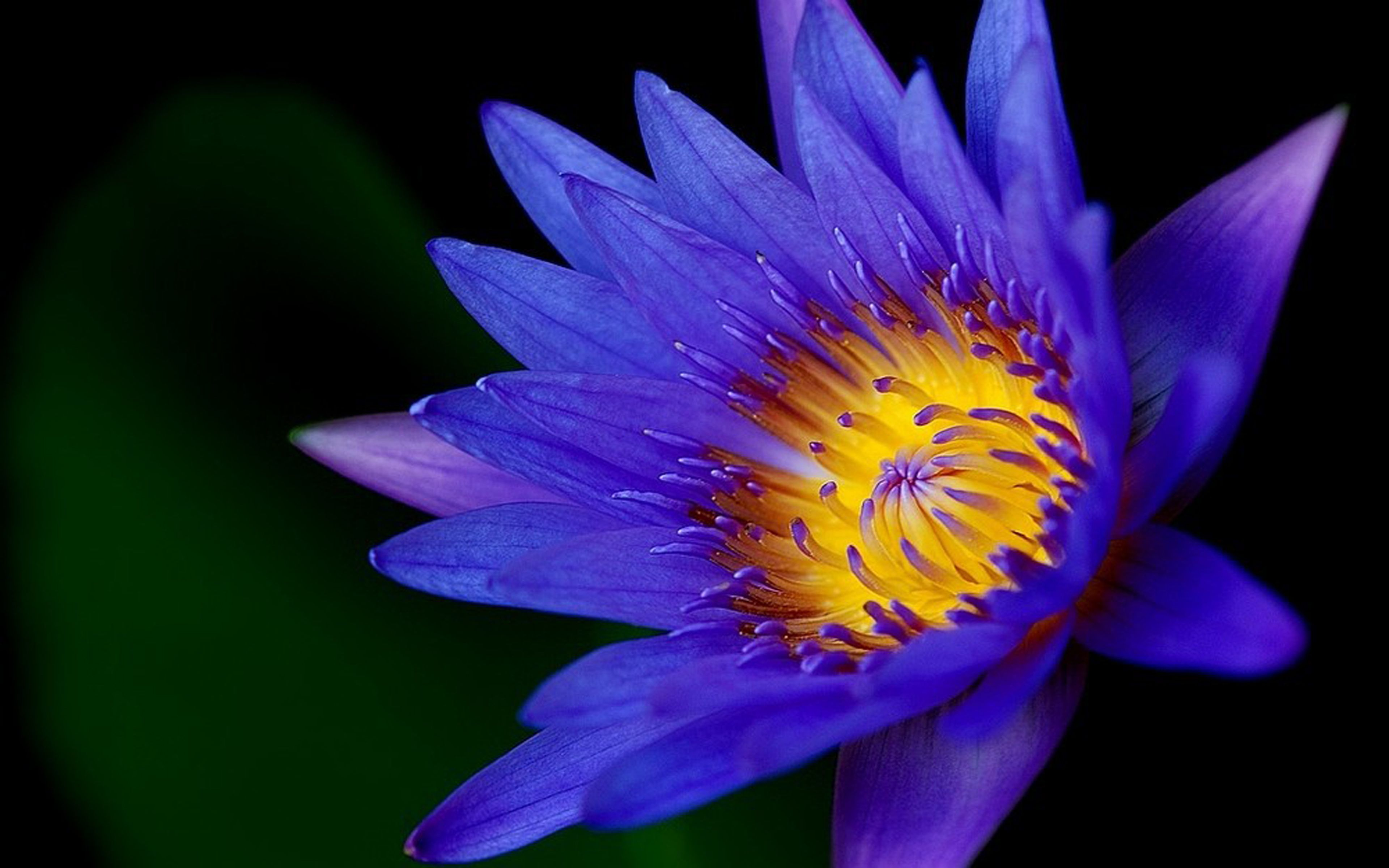 Blue Lotus Wallpapers - Top Free Blue Lotus Backgrounds ...