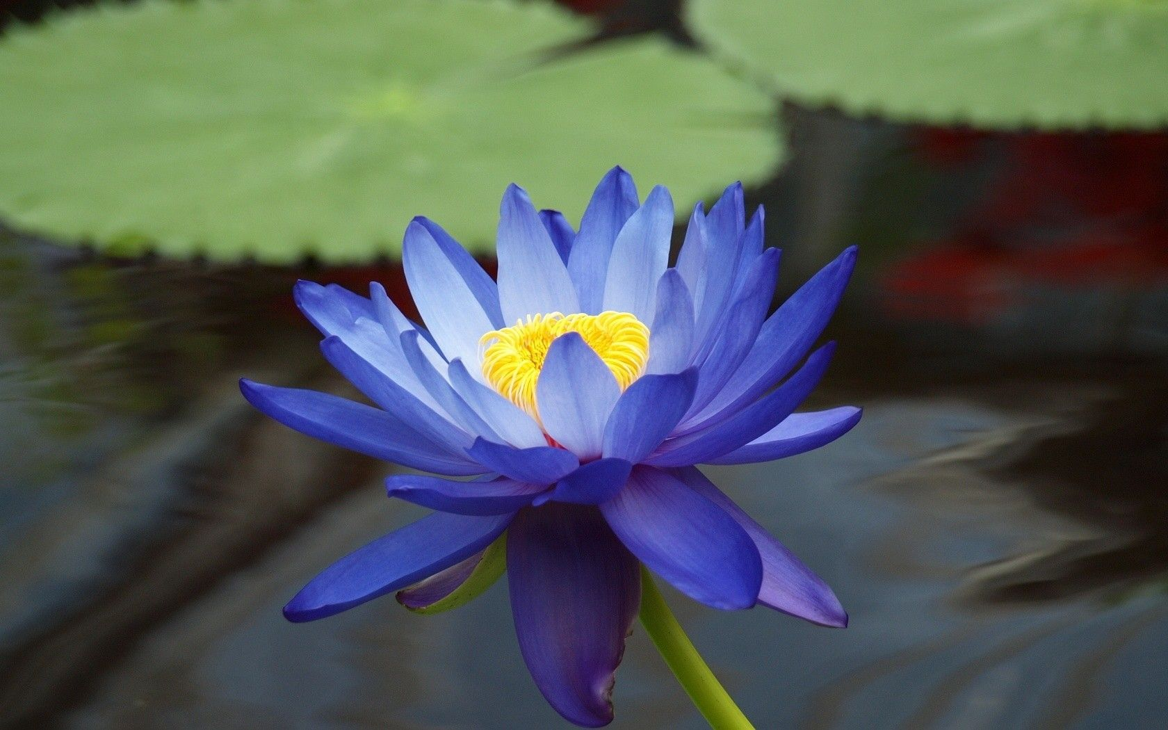 Blue Lotus Wallpapers Top Free Blue Lotus Backgrounds